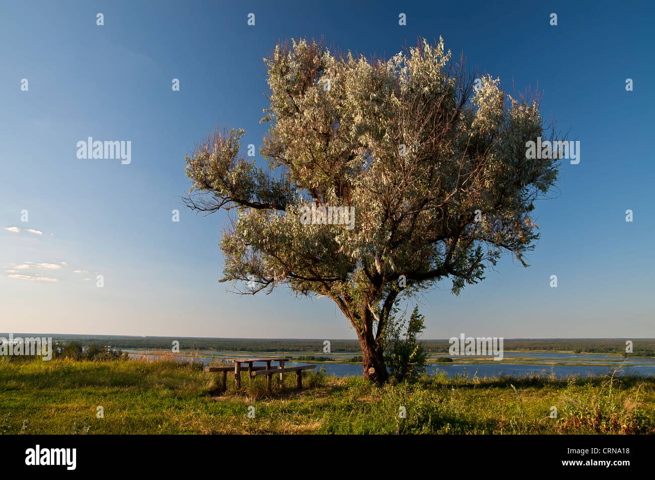 Old wild olive tree, a table and benches on the banks of the Dnieper, Kiev region, Ukraine - Stock Image
