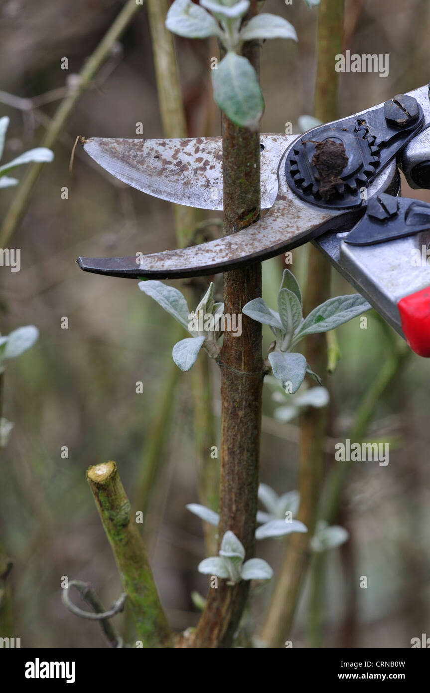 pruning buddleia with secateurs - Stock Image