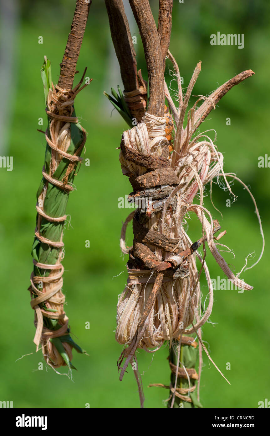 Vines tied in leaves to keep them supple ready for the Nagol land-diving ceremony, Pentecost Island, Vanuatu - Stock Image