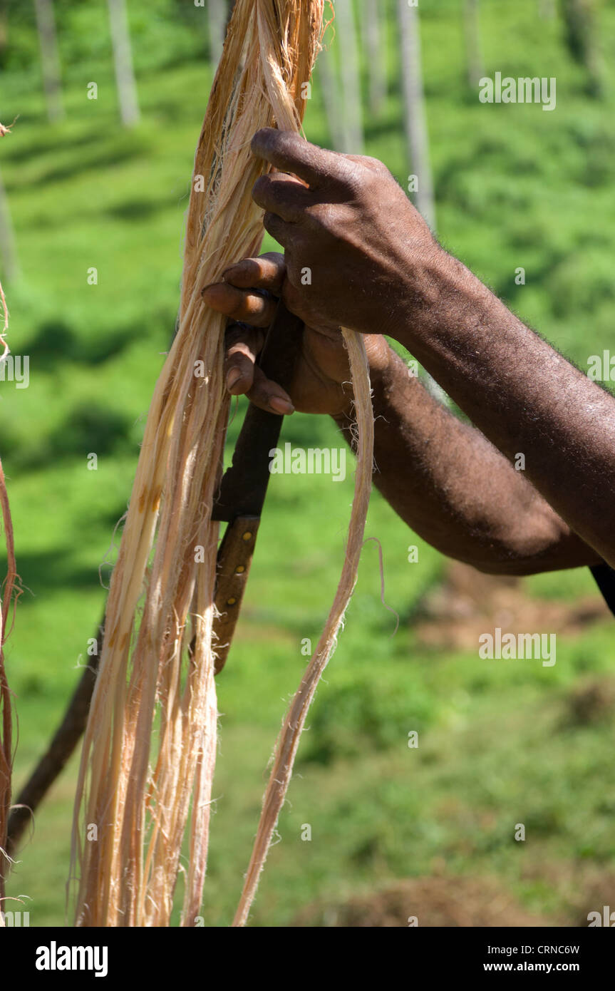 Preparing the ends of the vines before the Nagol land-diving ceremony, Pentecost Island, Vanuatu - Stock Image
