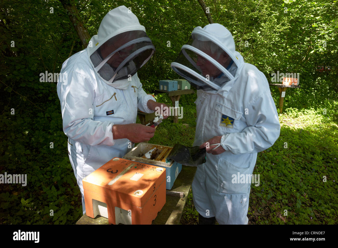 Checking queen bee mating hives - individuals are selected for health, to reduce swarming and to be docile - Stock Image
