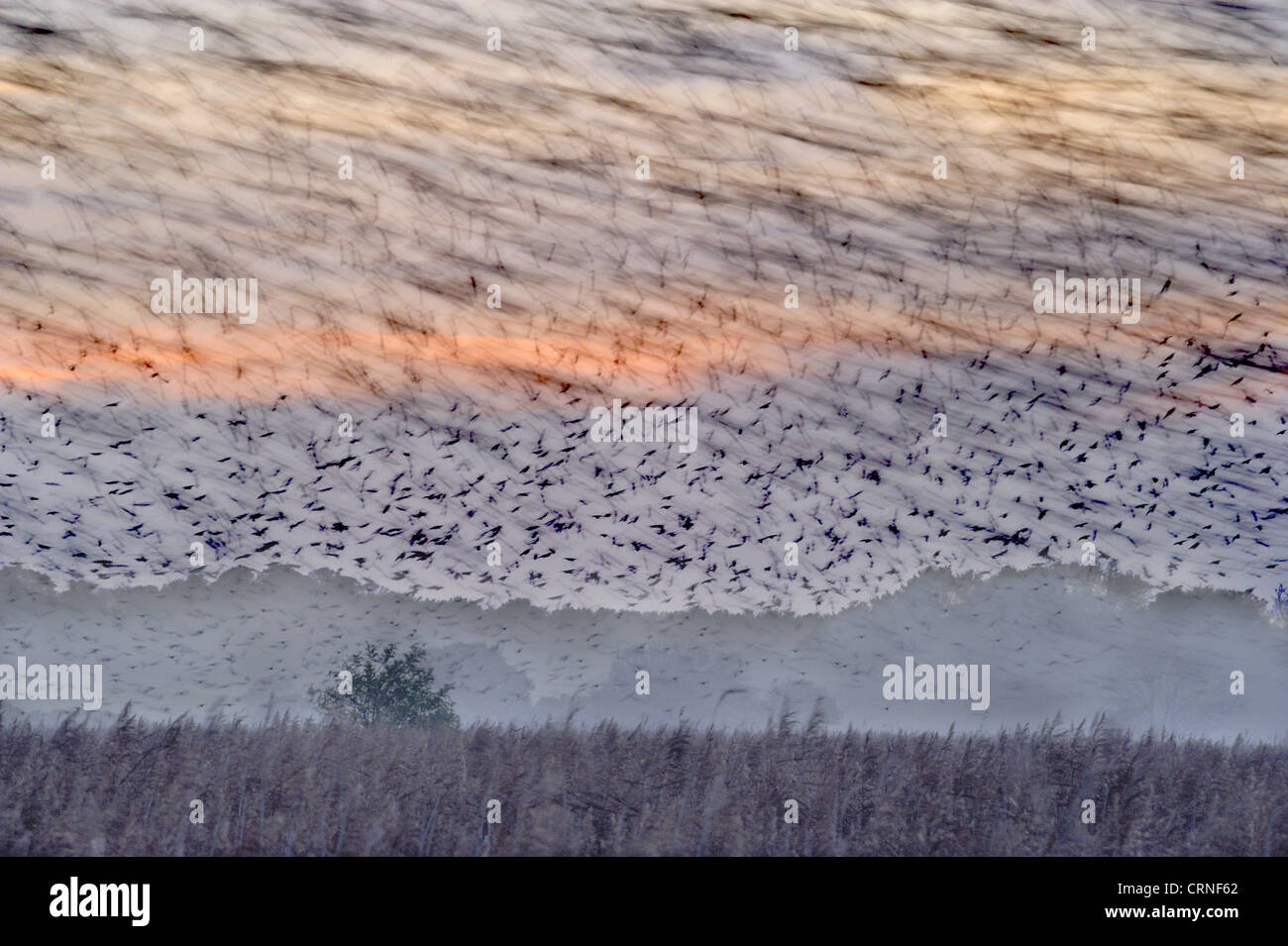 Common Starling (Sturnus vulgaris) flock, in roosting flight, blurred movement, over coastal reedbed habitat at Stock Photo