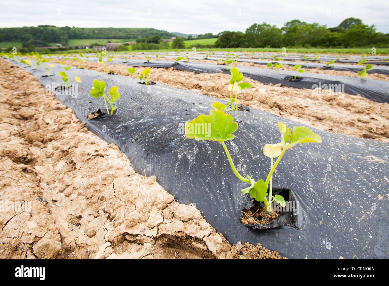 Courgettes growing at Washingpool farm in Bridport, Dorset. - Stock Image