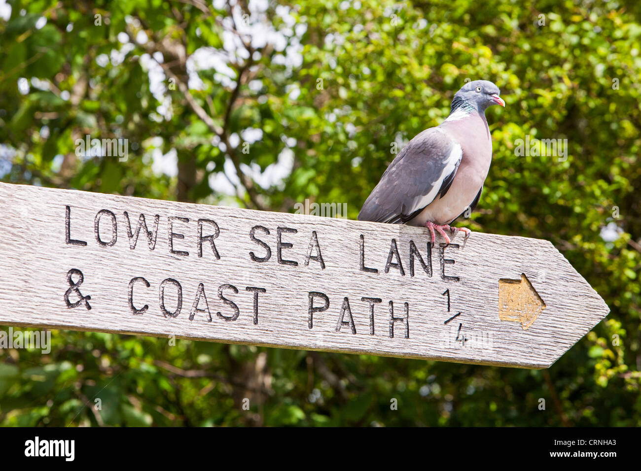 A Wood Pigeon (Columba palumbus) sits on a signpost pointing to Lower Sea Lane in Charrmouth, Dorset, UK, - Stock Image