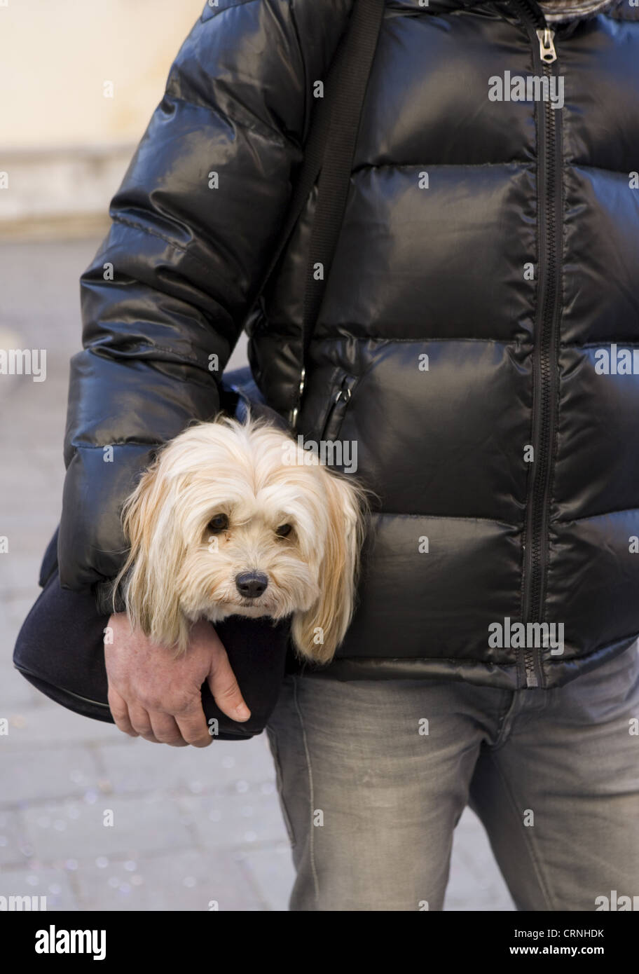 Domestic Dog, Shih Tzu, adult, being carried in bag by owner, Italy, february - Stock Image