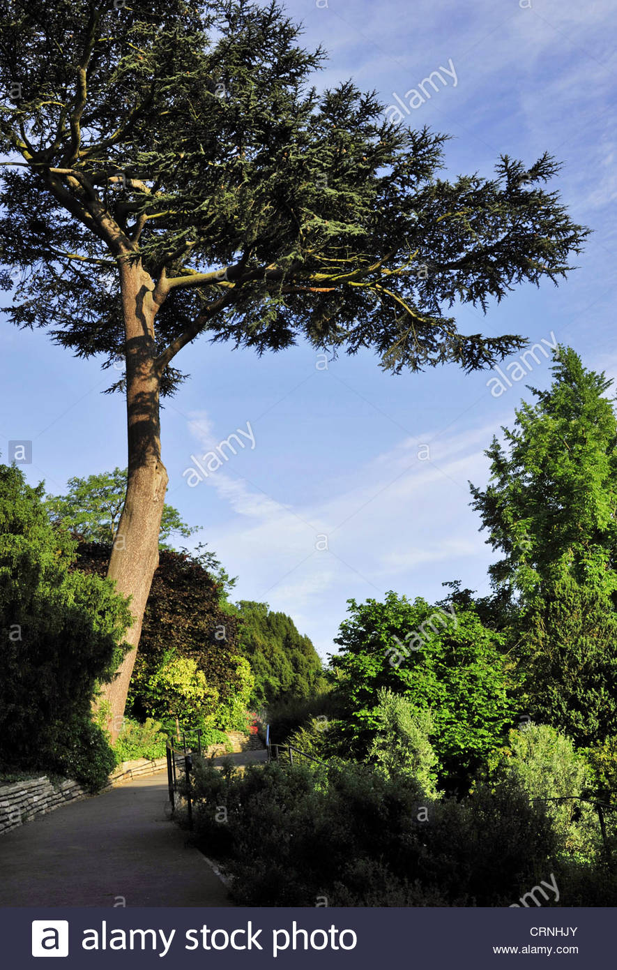 Conifer trees walkway Terrace Gardens Richmond London UK - Stock Image