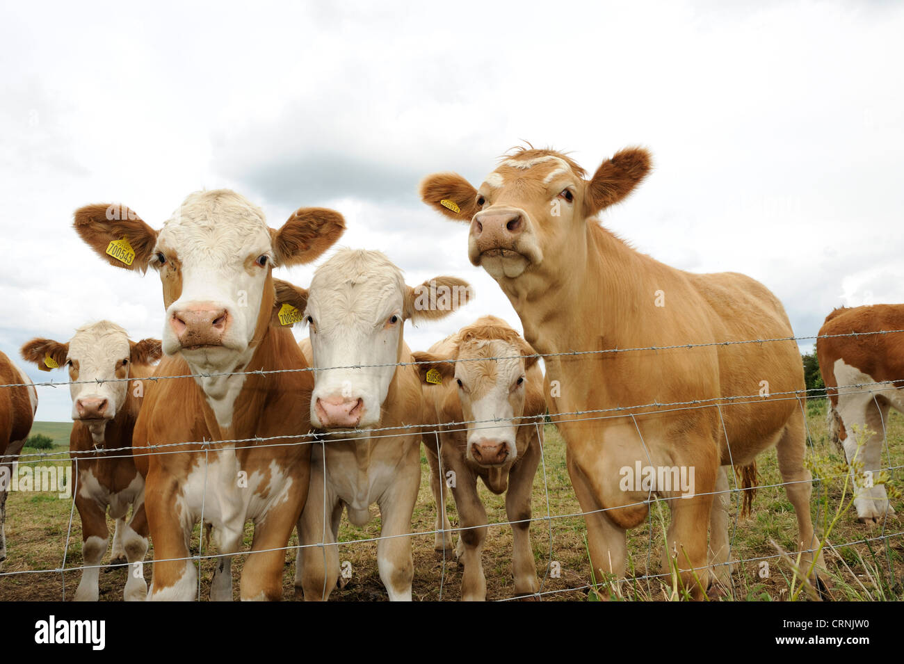 Cattle looking over a barbed wire fence. - Stock Image