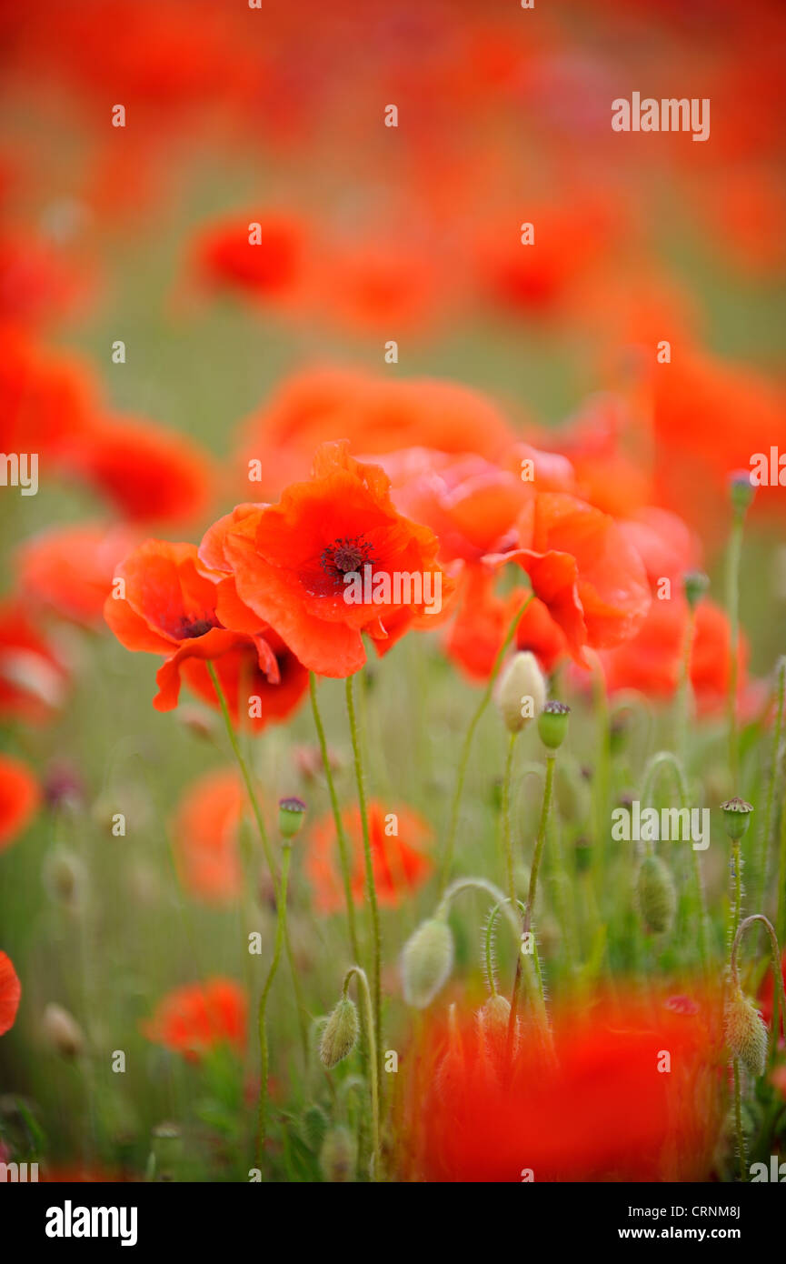 Common poppy, papaver rhoeas. - Stock Image