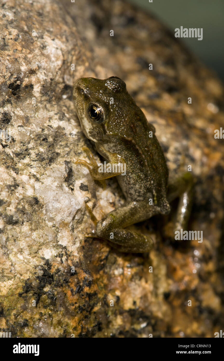 Common Frog (Rana temporaria) juvenile, emerging from water, Belvedere, Bexley, Kent, England, june Stock Photo