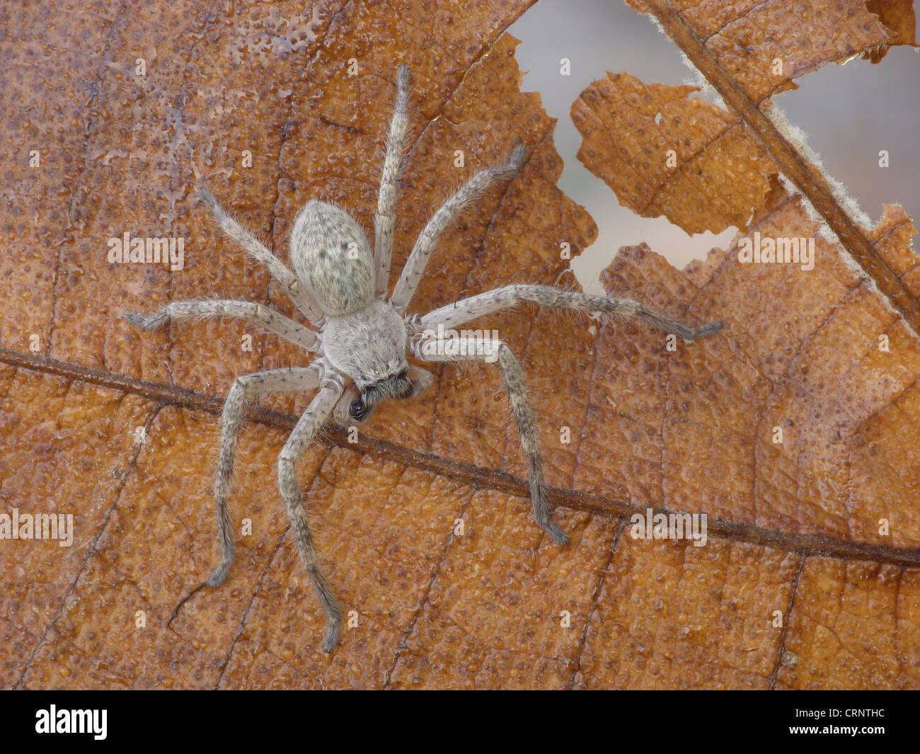 Mountain Huntsman Spider (Isopeda montana) young instar, walking