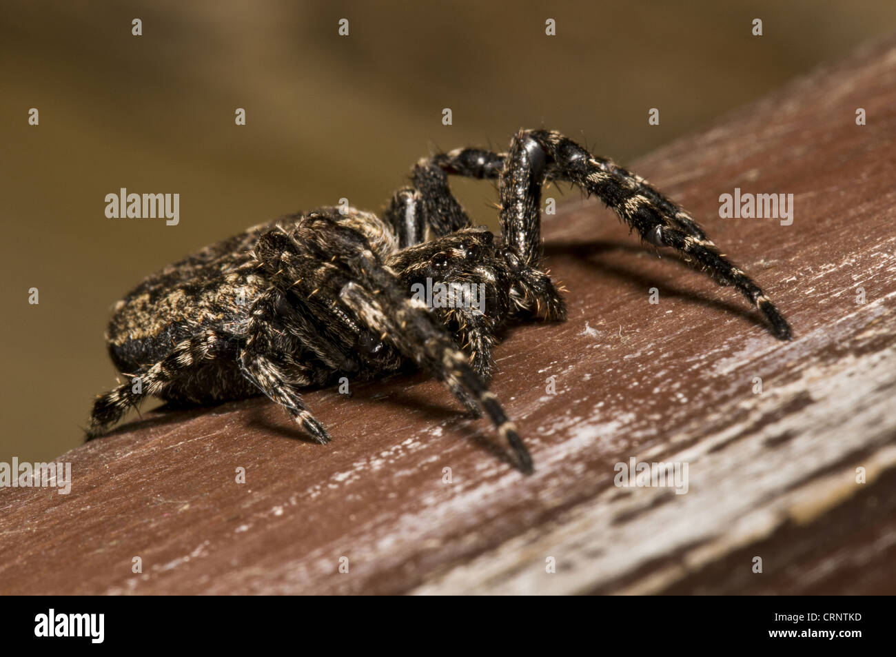 Walnut Orb-weaver Spider (Nuctenea umbratica) adult female, resting in birdwatching hide, Minsmere RSPB Reserve, - Stock Image