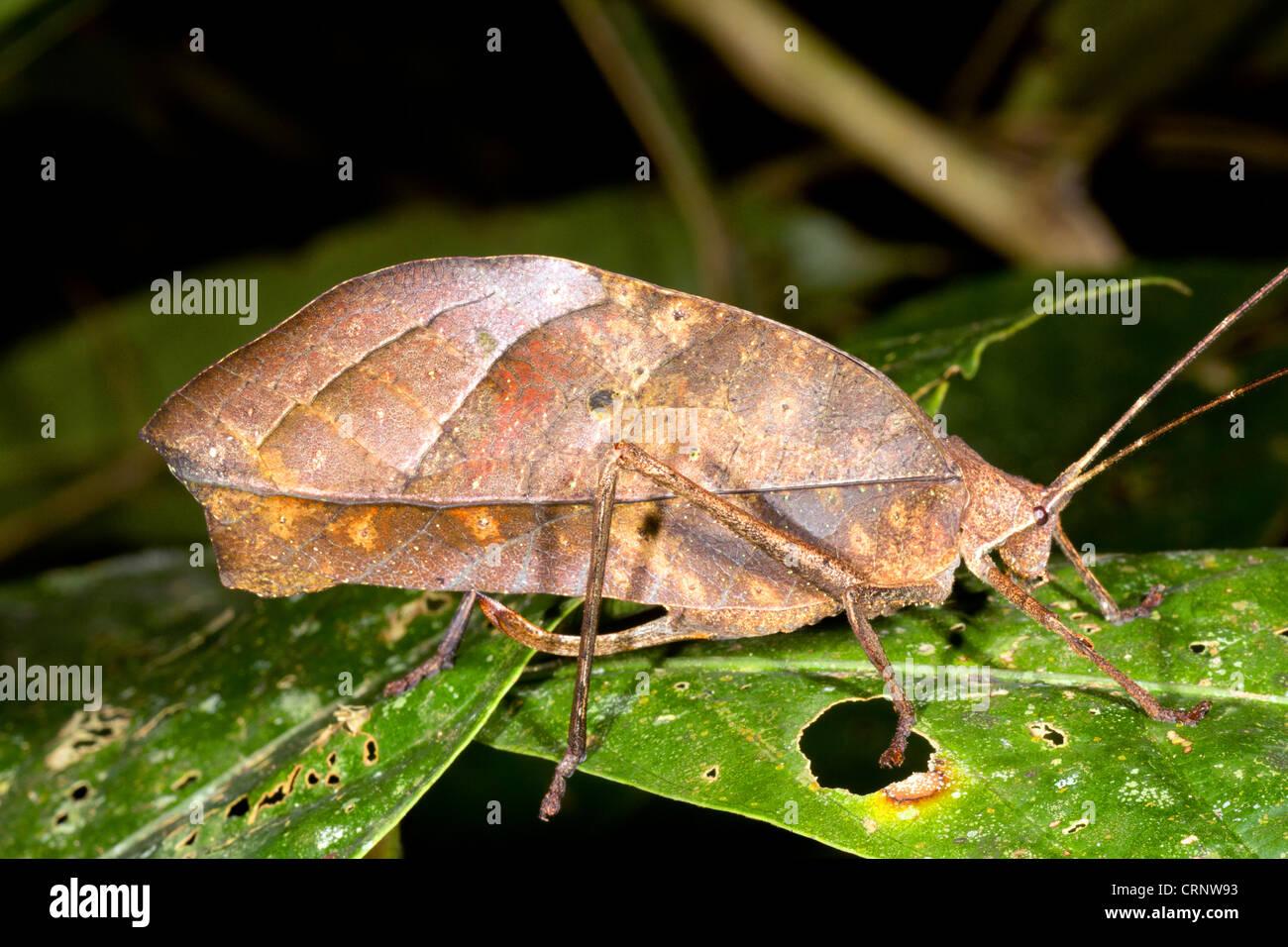 Leaf Mimic Katydid in rainforest, Ecuador - Stock Image