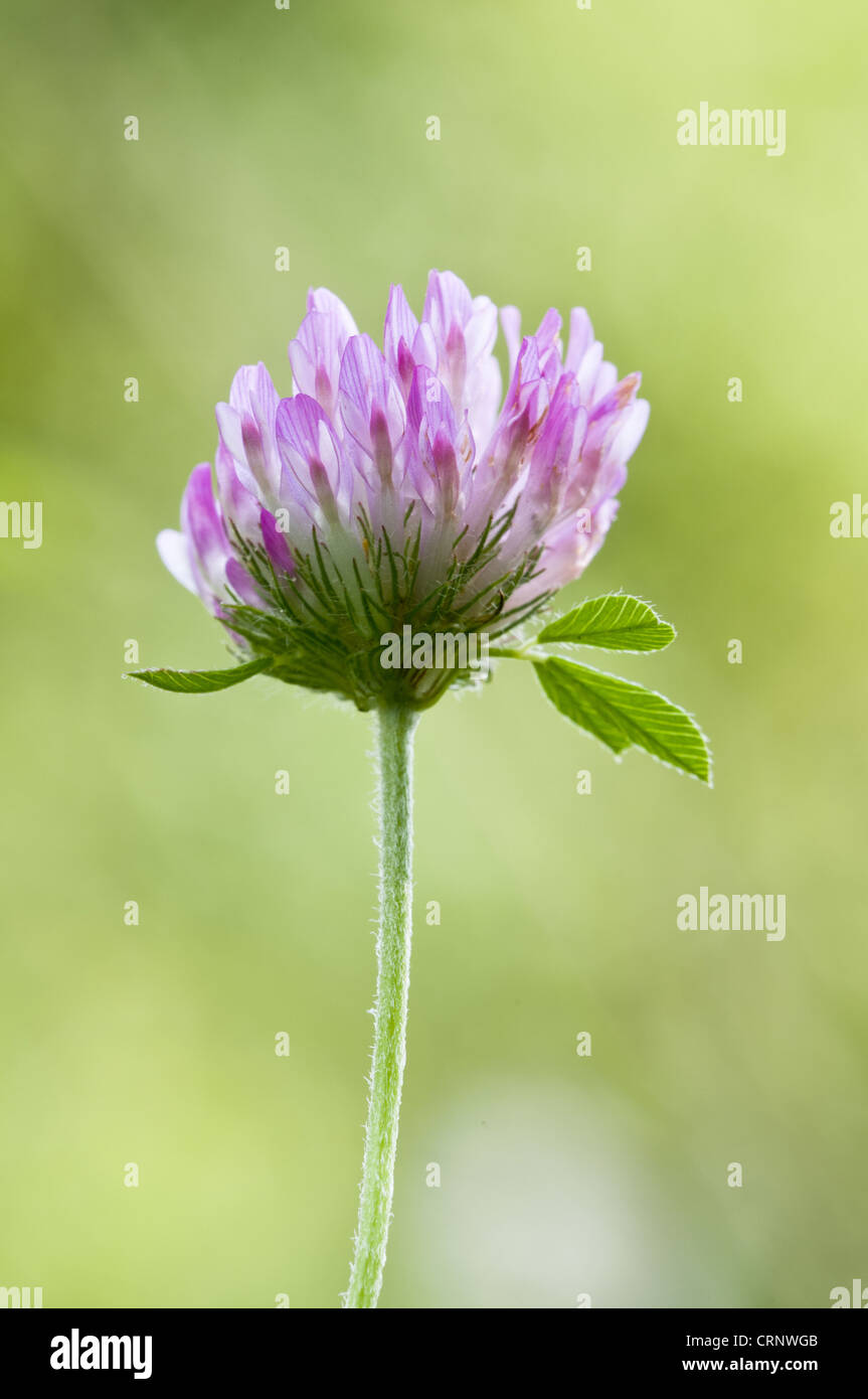 Red Clover (Trifolium pratense) close-up of flowerhead, Downe Bank Nature Reserve, North Downs, Kent, England, august - Stock Image