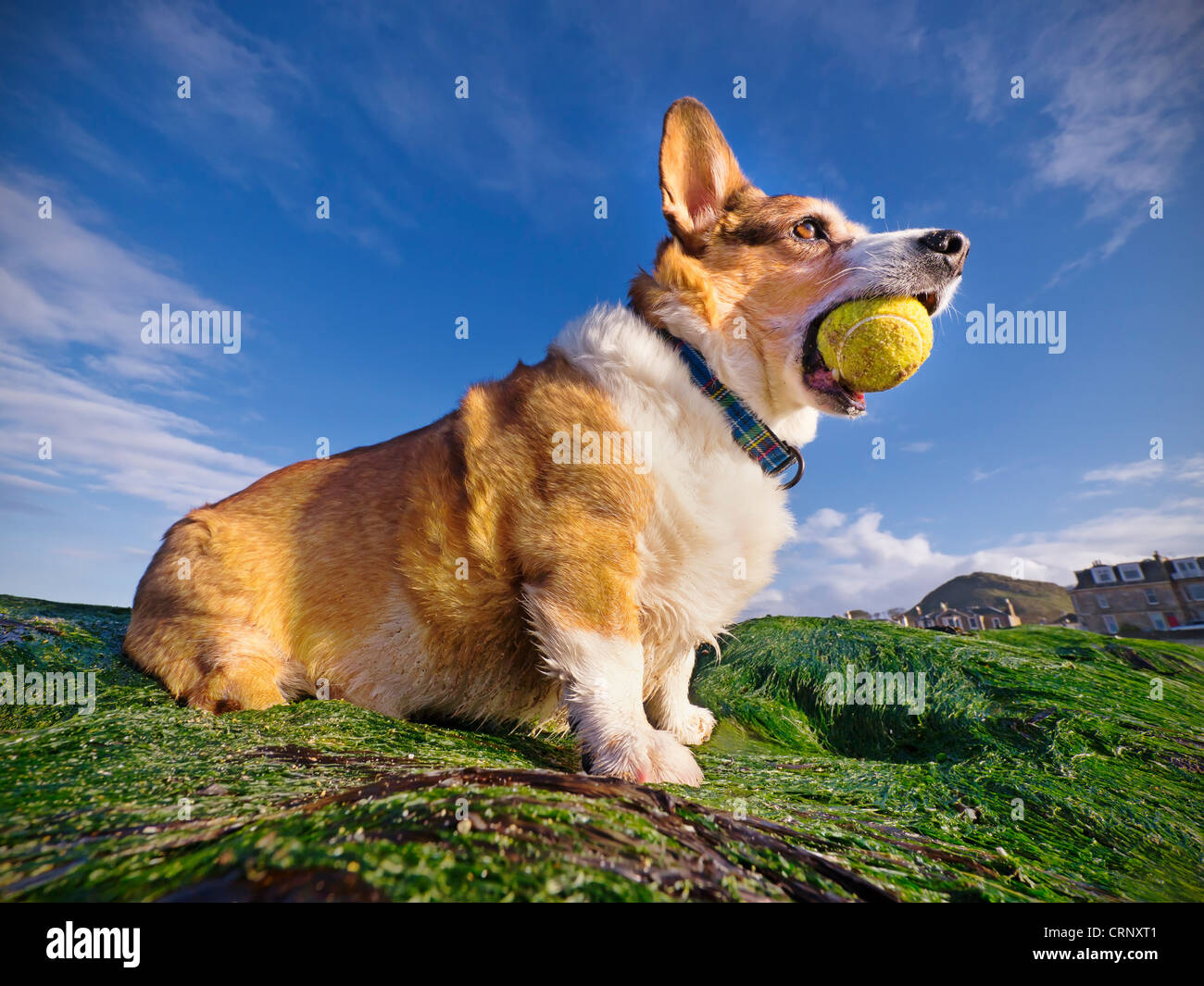 A welsh cardigan corgi (dog) holding a tennis ball in its mouth, playing on a Scottish beach. - Stock Image