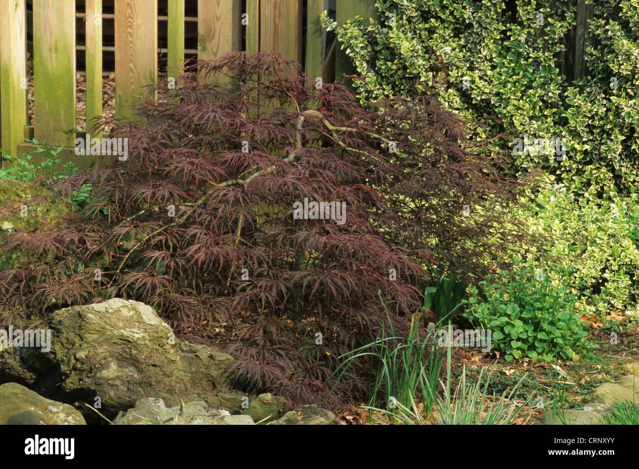 Japanese Maple Acer Palmatum Dissectum Nigrum Ever Red Stock
