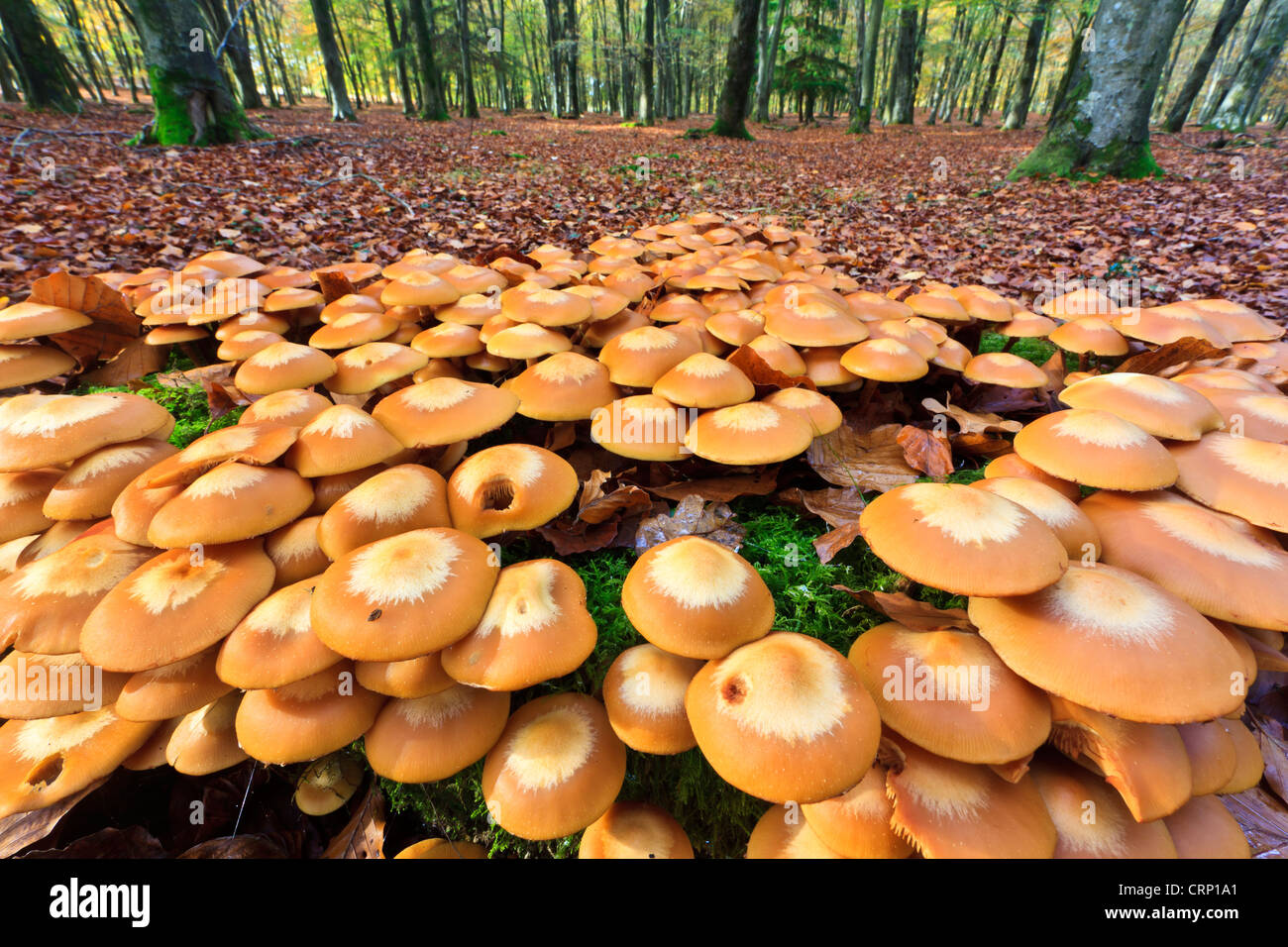 A cluster of mushrooms on a tree stump at Broomy Inclosure in the New Forest National Park. - Stock Image