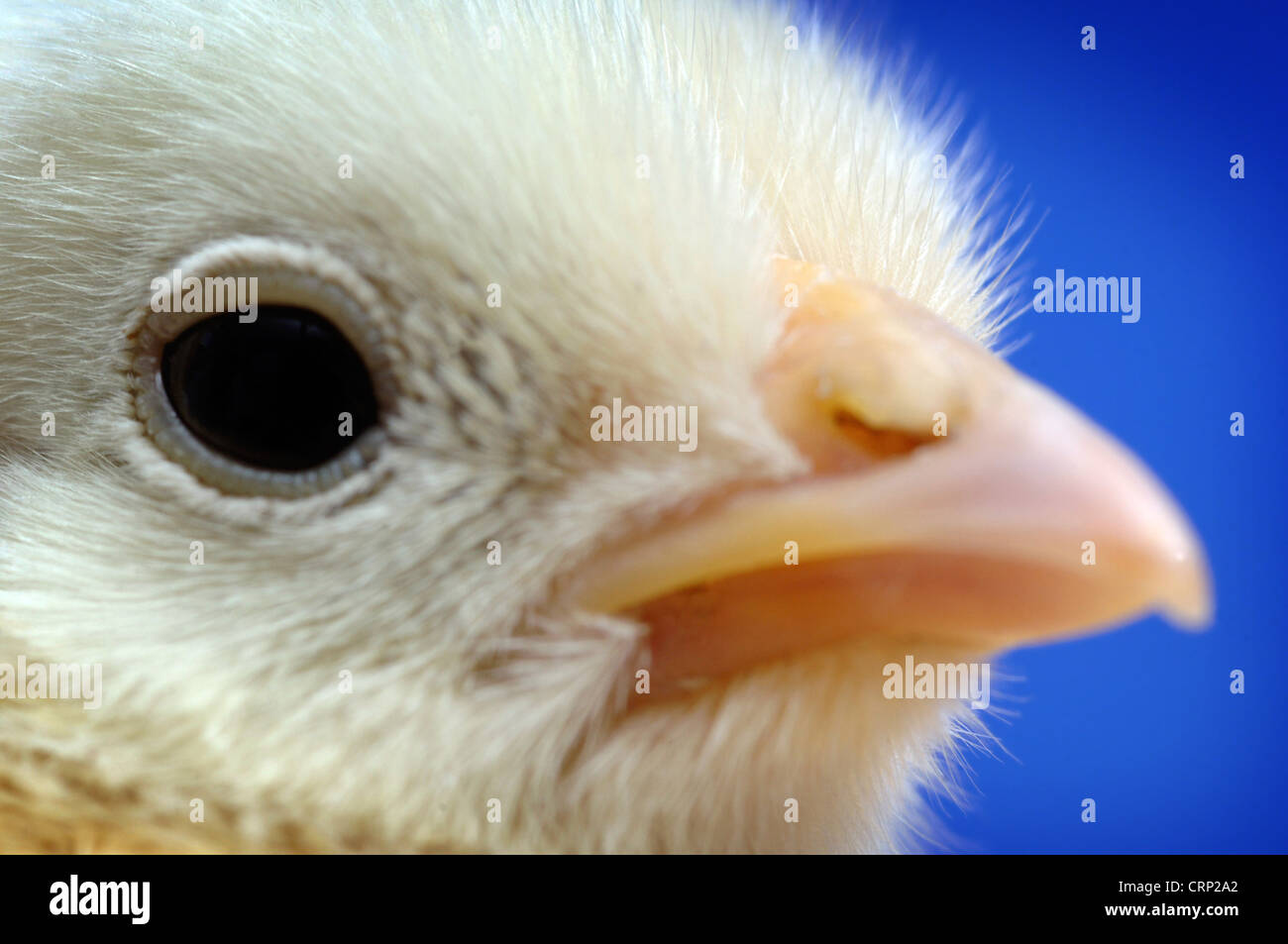 Close up of a chick just a few days old. Avian influenza is a contagious disease among birds which kills chickens - Stock Image