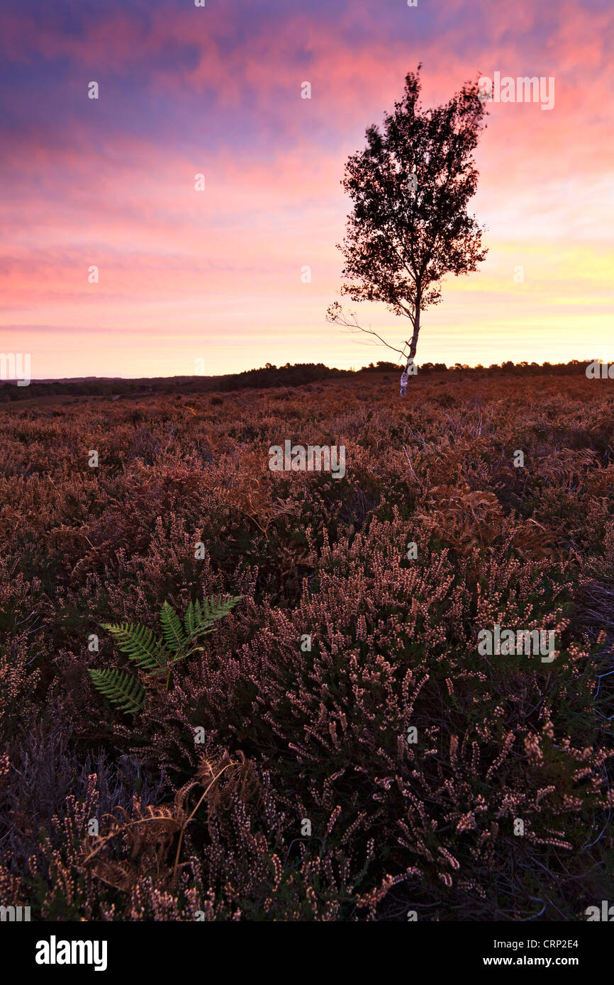 A silver birch tree at Rockford Common in the New Forest National Park at sunrise. - Stock Image