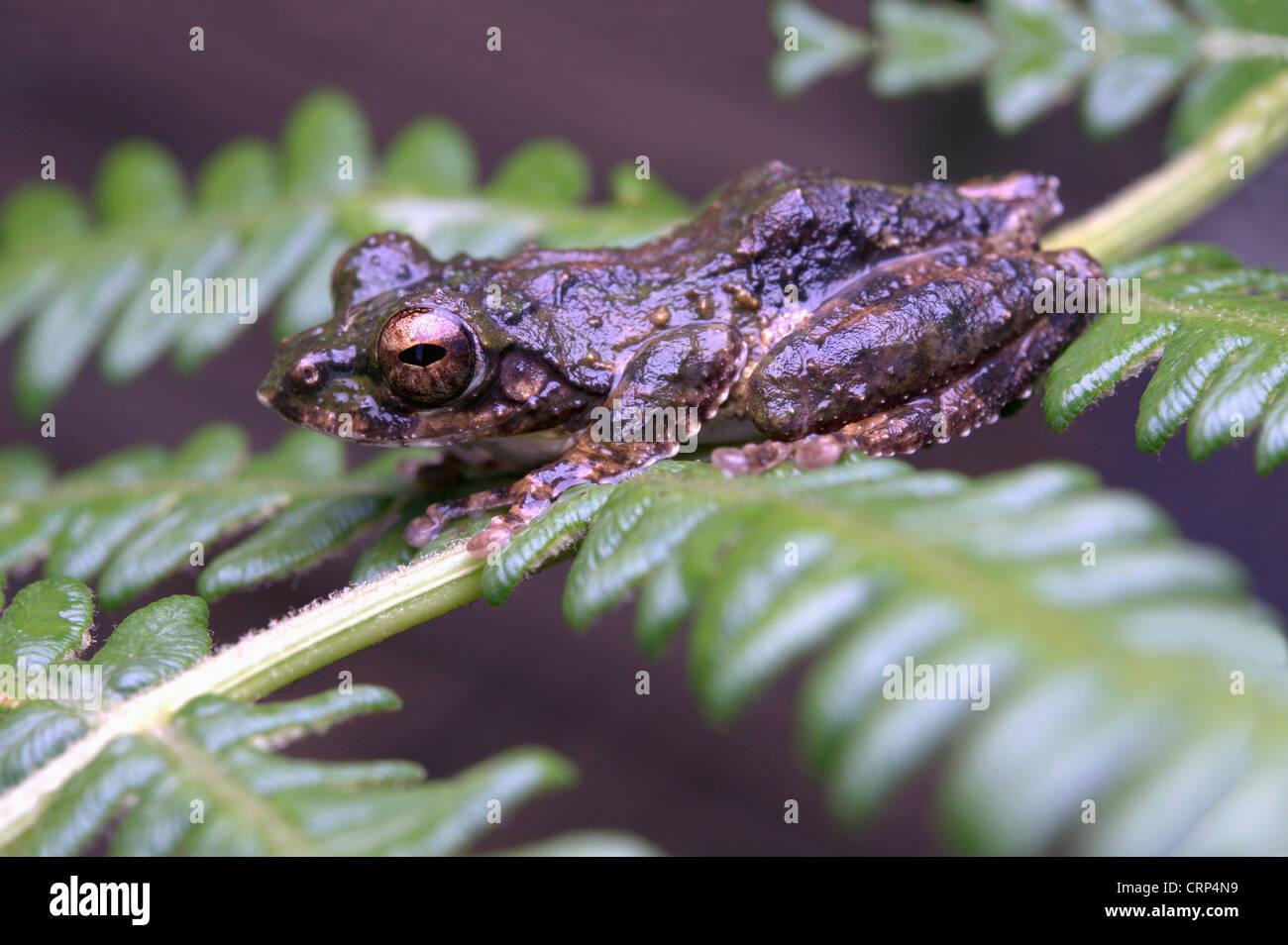 Kurixalus naso, Polypedates naso , Long-nosed Tree frog - Stock Image