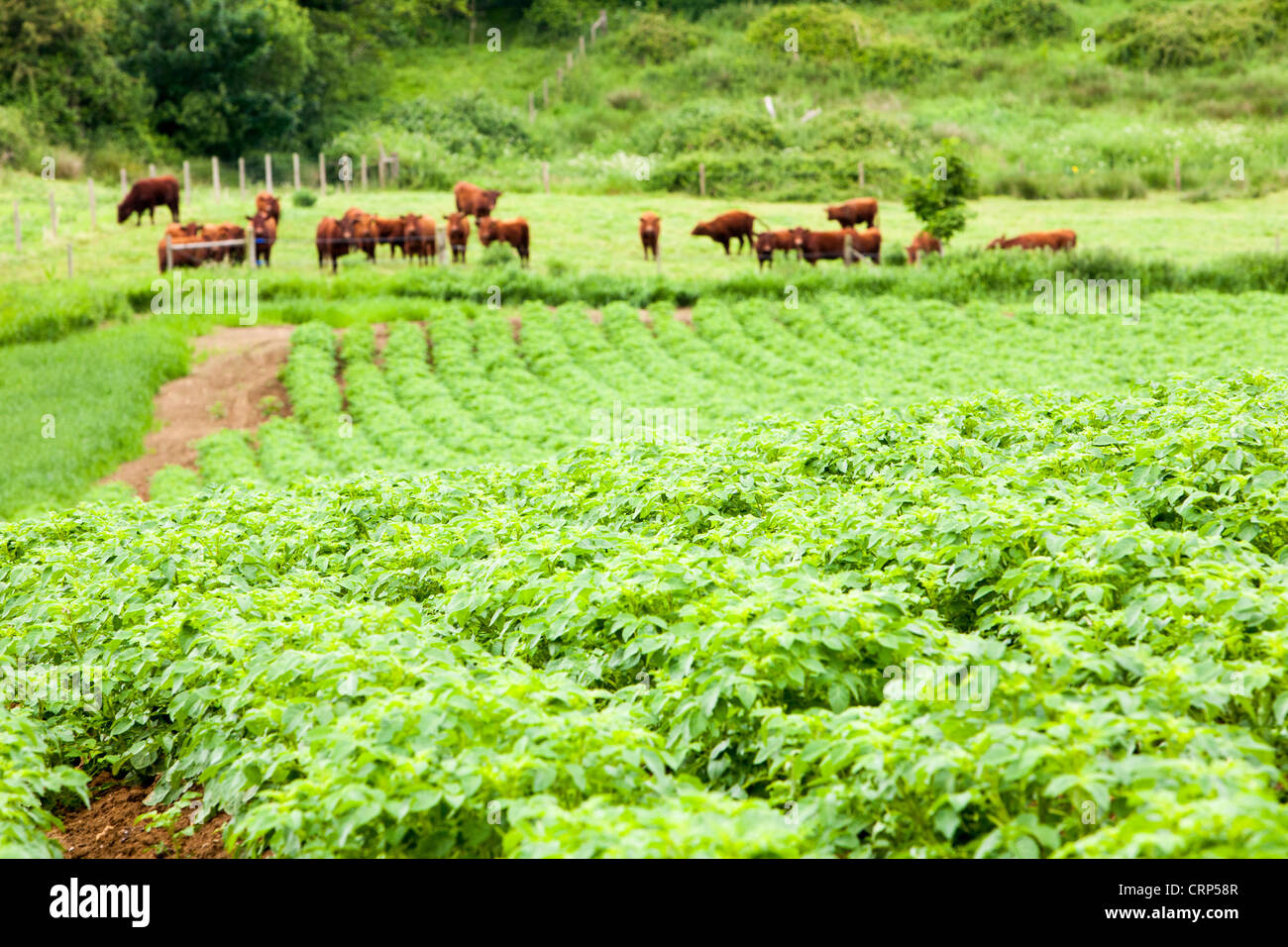 Potatoes growing at Washingpool farm in Bridport, Dorset with North Devon beef cattle behind. - Stock Image