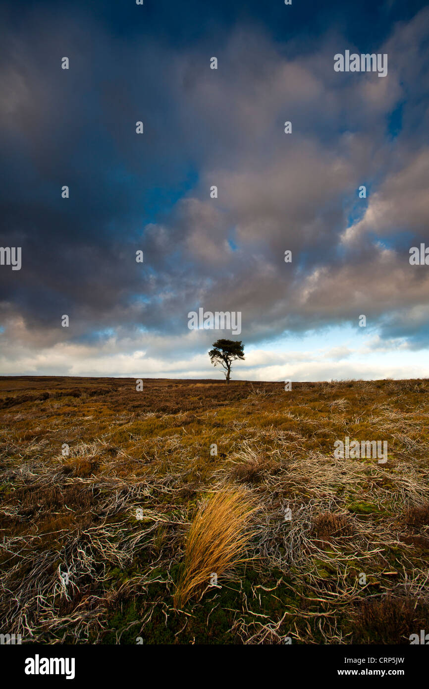 A lone Pine tree on the North York Moors in Winter. Stock Photo