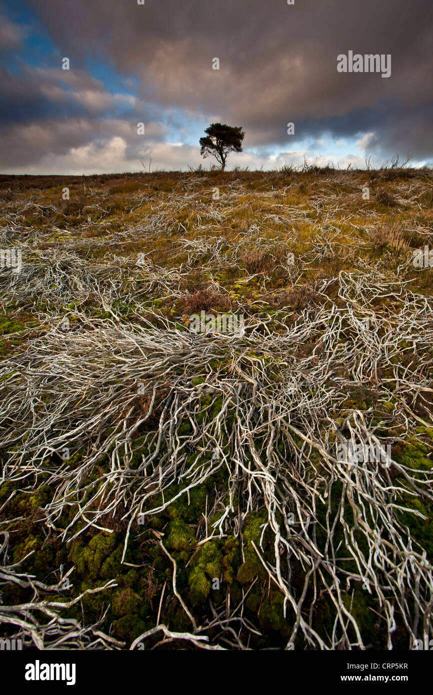 A lone Pine tree on the North York Moors in Winter. - Stock Image