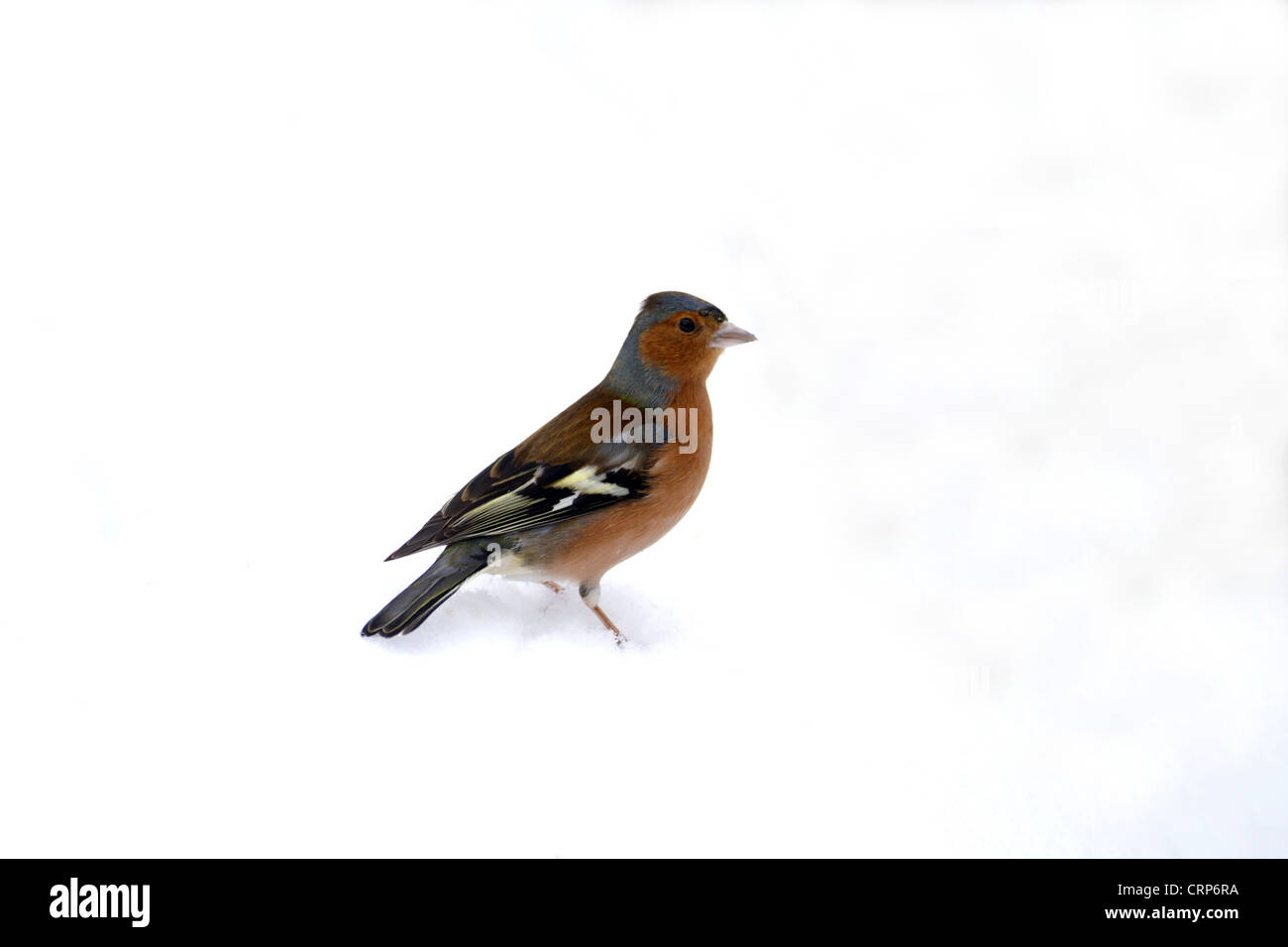 Chaffinch (Fringilla coelebs) adult male, standing on snow, Norfolk, England, february - Stock Image