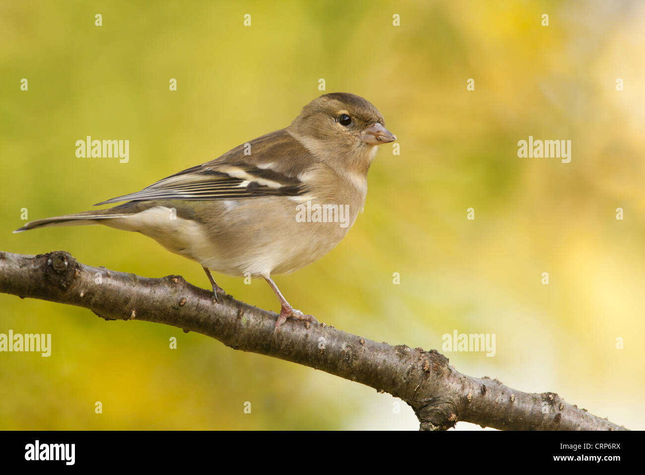 Chaffinch (Fringilla coelebs) adult female, perched on branch, Norfolk, England, november - Stock Image