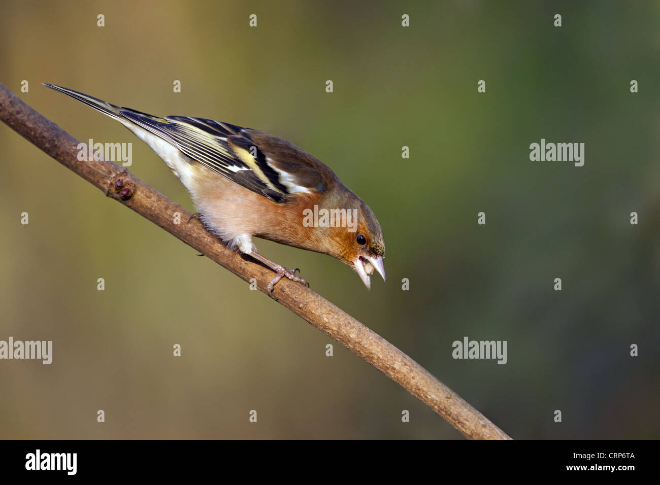 Chaffinch (Fringilla coelebs) adult male, feeding on seed, perched on branch, Norfolk, England, december - Stock Image