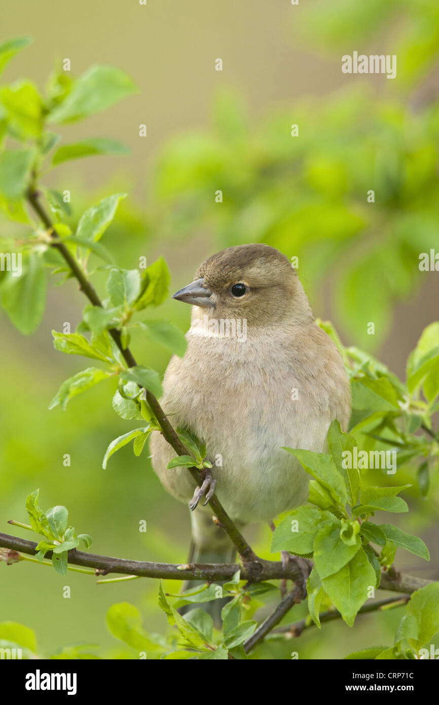 Chaffinch (Fringilla coelebs) adult female, perched on twig, Norfolk, England, april - Stock Image