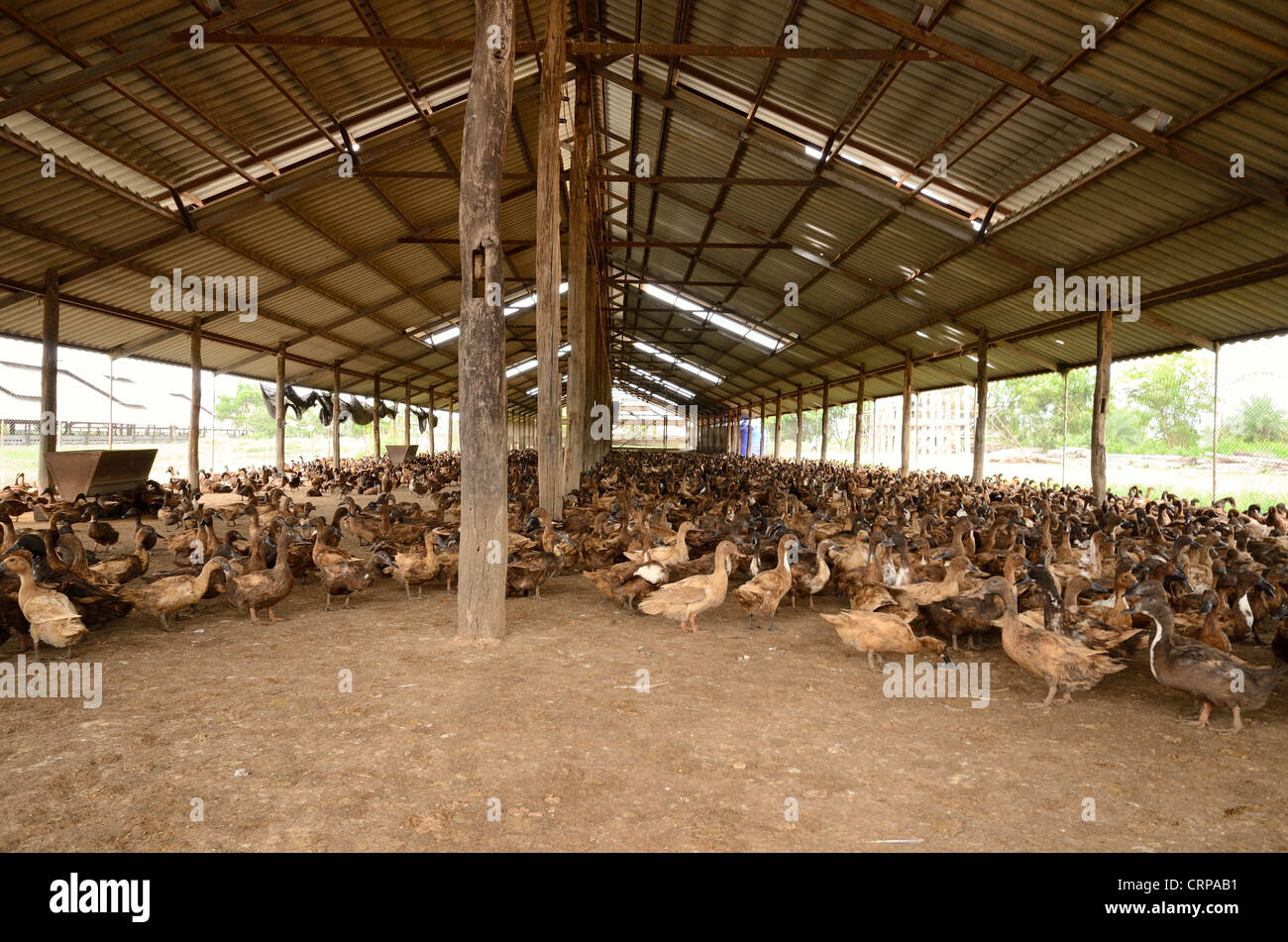 Thai Style Commercial Layer Duck Farm At Middle Of Thailand
