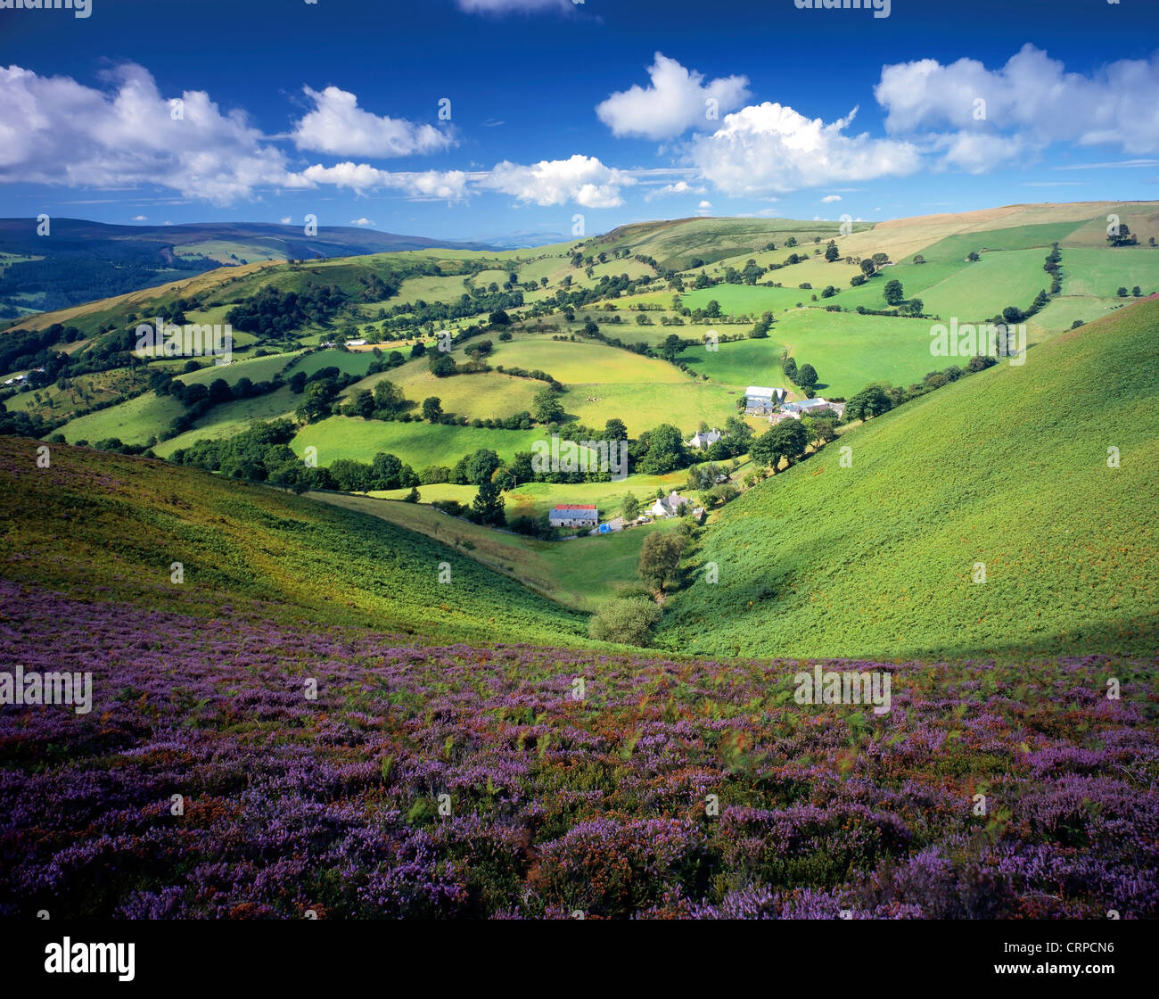 View across a heather-clad valley in the Llantysilio Hills. - Stock Image