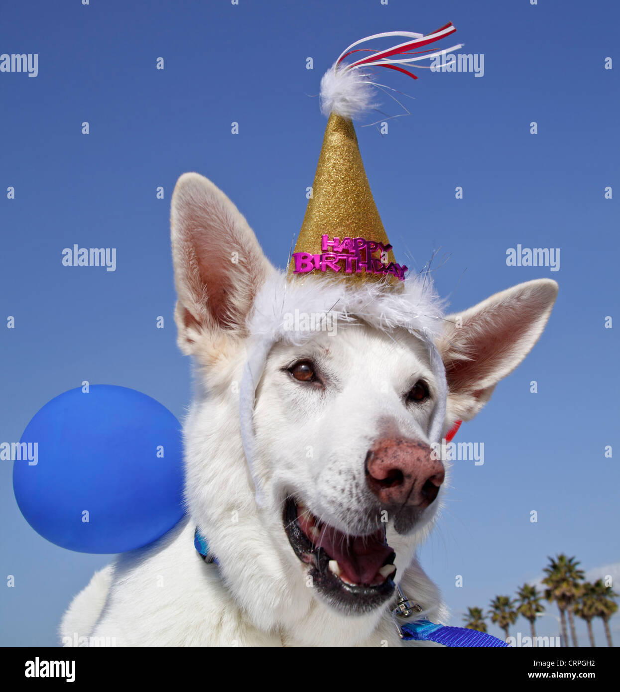 White German Shepherd with Happy Birthday decorations and balloons