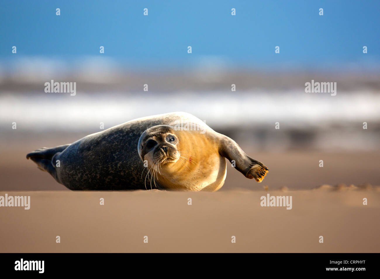 North Atlantic Grey Seal (Halichoerus grypus) on a sandflat at the Donna Nook Nature Reserve. Stock Photo