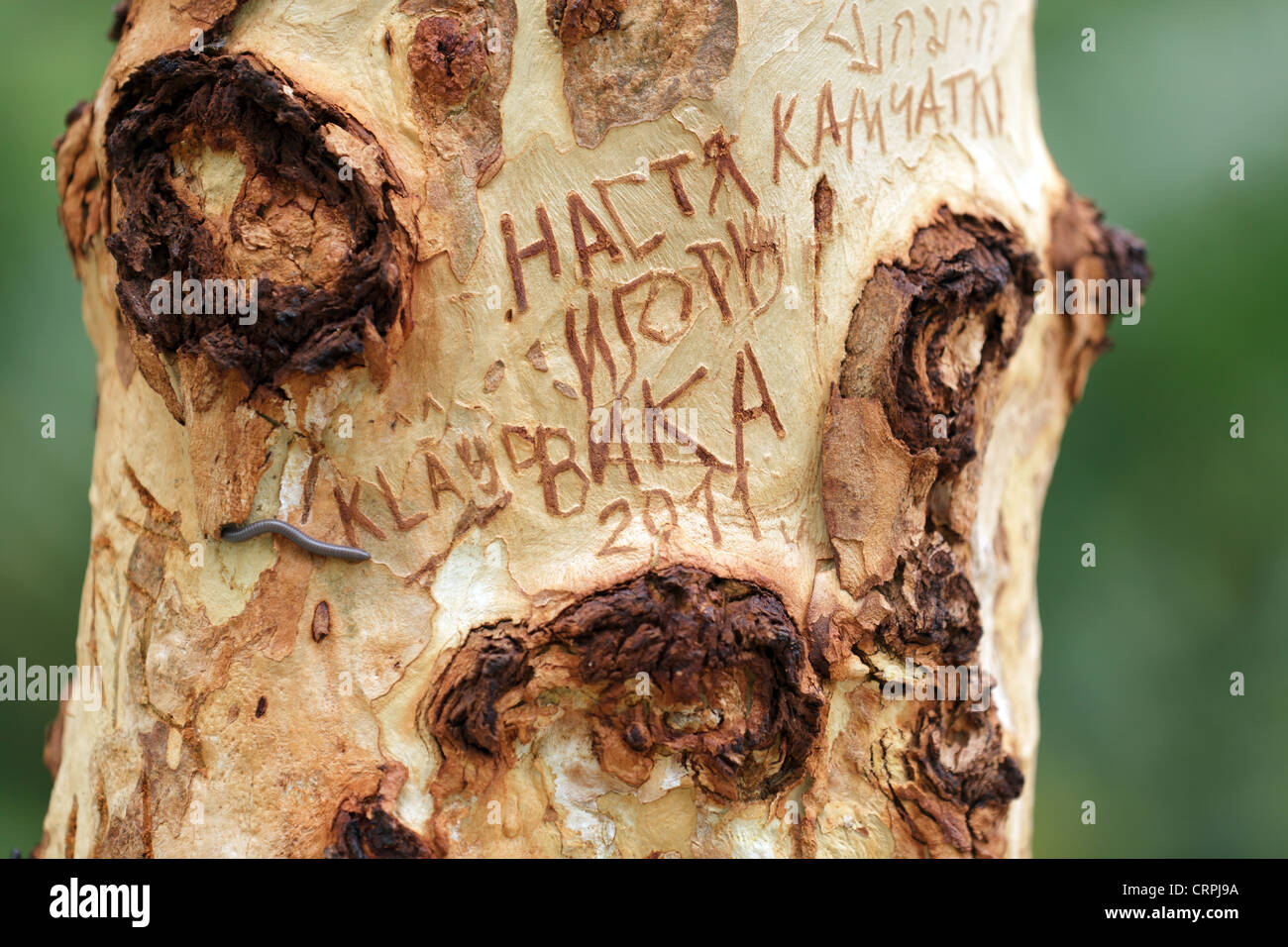 Thai carved writings on tree trunk - Stock Image