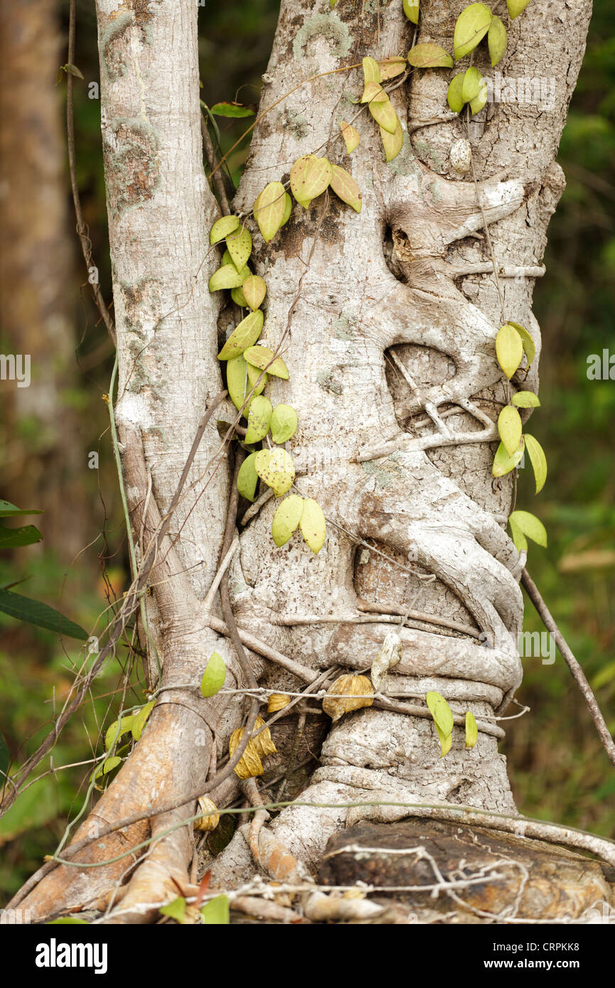 Ficus tree strangling other tree in jungle, Ko Chang island, Thailand - Stock Image