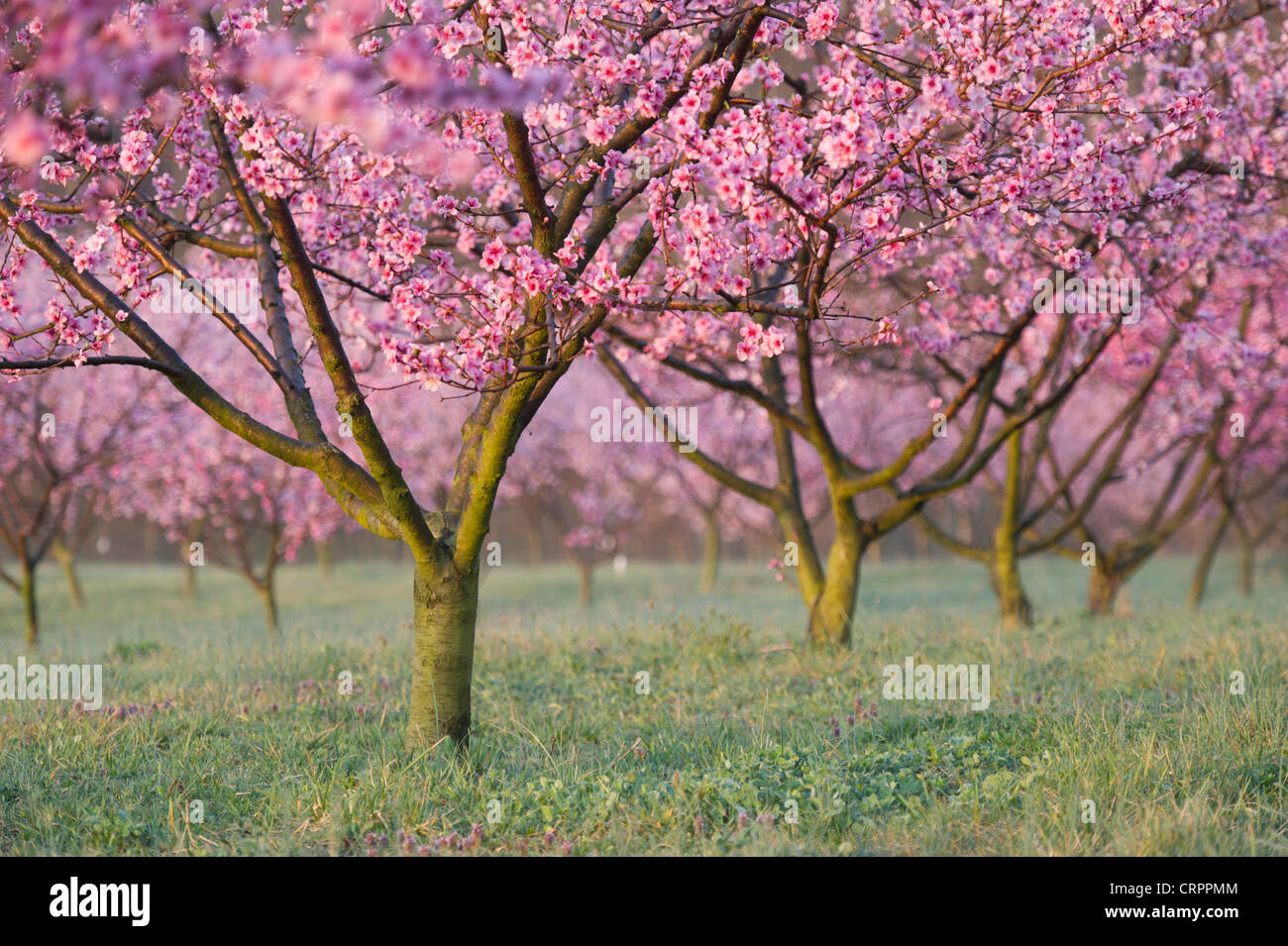 Peach trees in blossom Albermarle Cider works - Stock Image