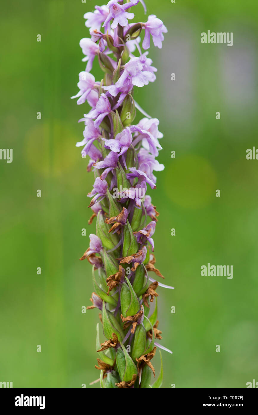 Gymnadenia conopsea . Fragrant Orchid going to seed - Stock Image