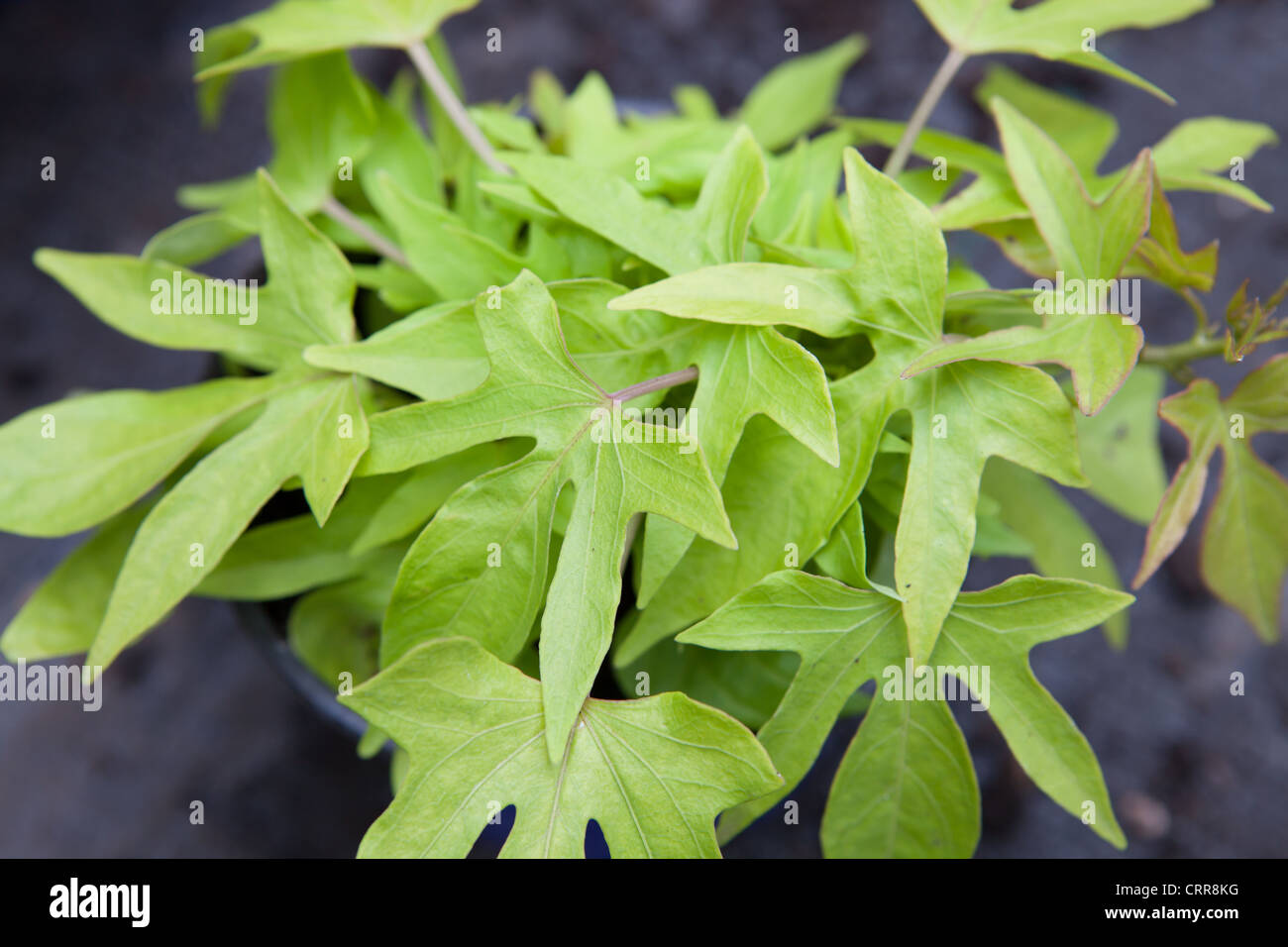 The Ornamental Sweet Potato Vine Ipomoea Batatas Stock Photo Alamy