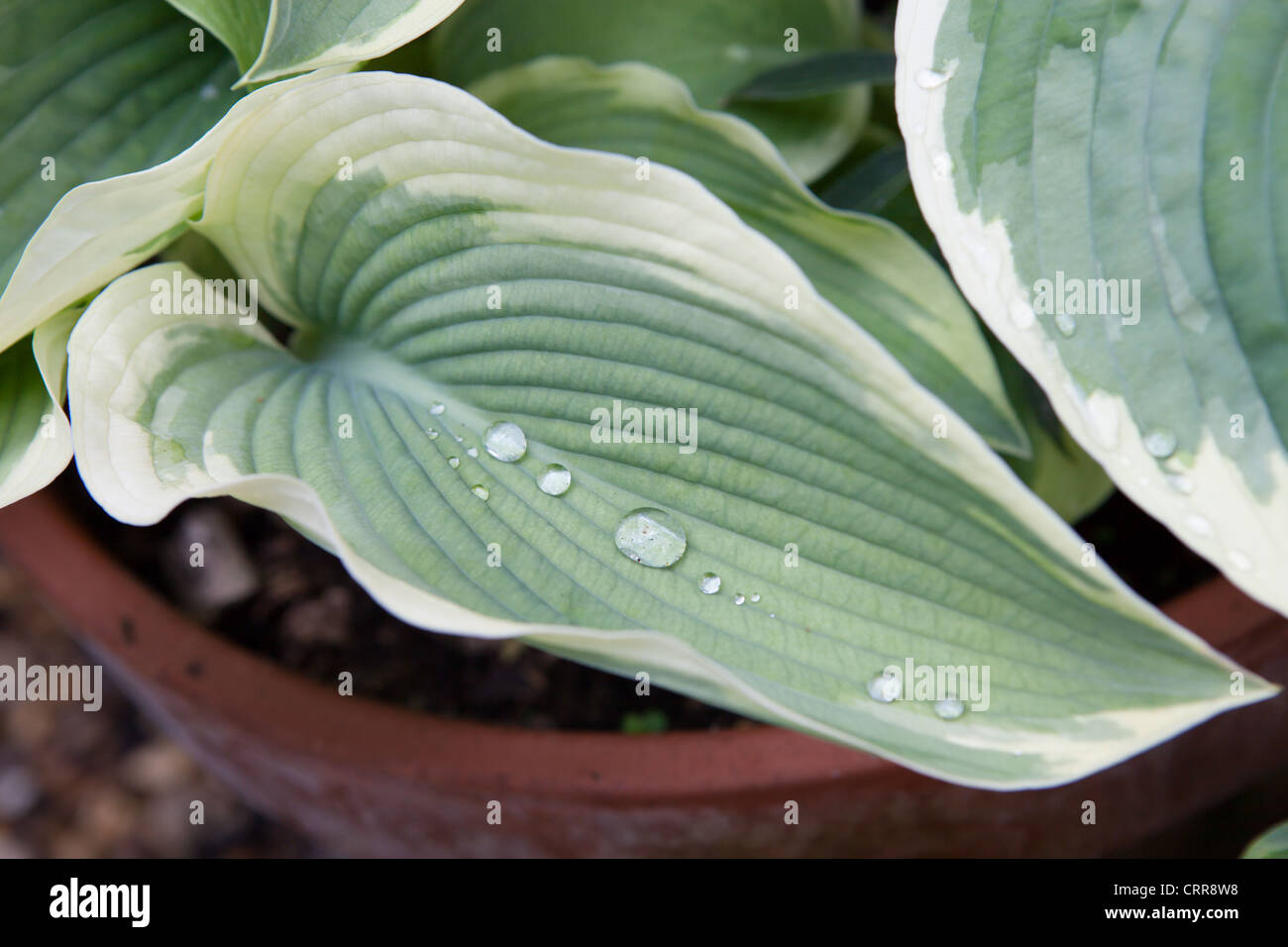 Hosta Variegated Leaf Stock Photos Hosta Variegated Leaf Stock