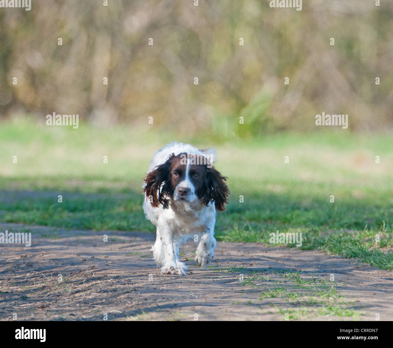 SPRINGER SPANIIEL DOG. CANIS LUPUS FAMILIARIS. - Stock Image