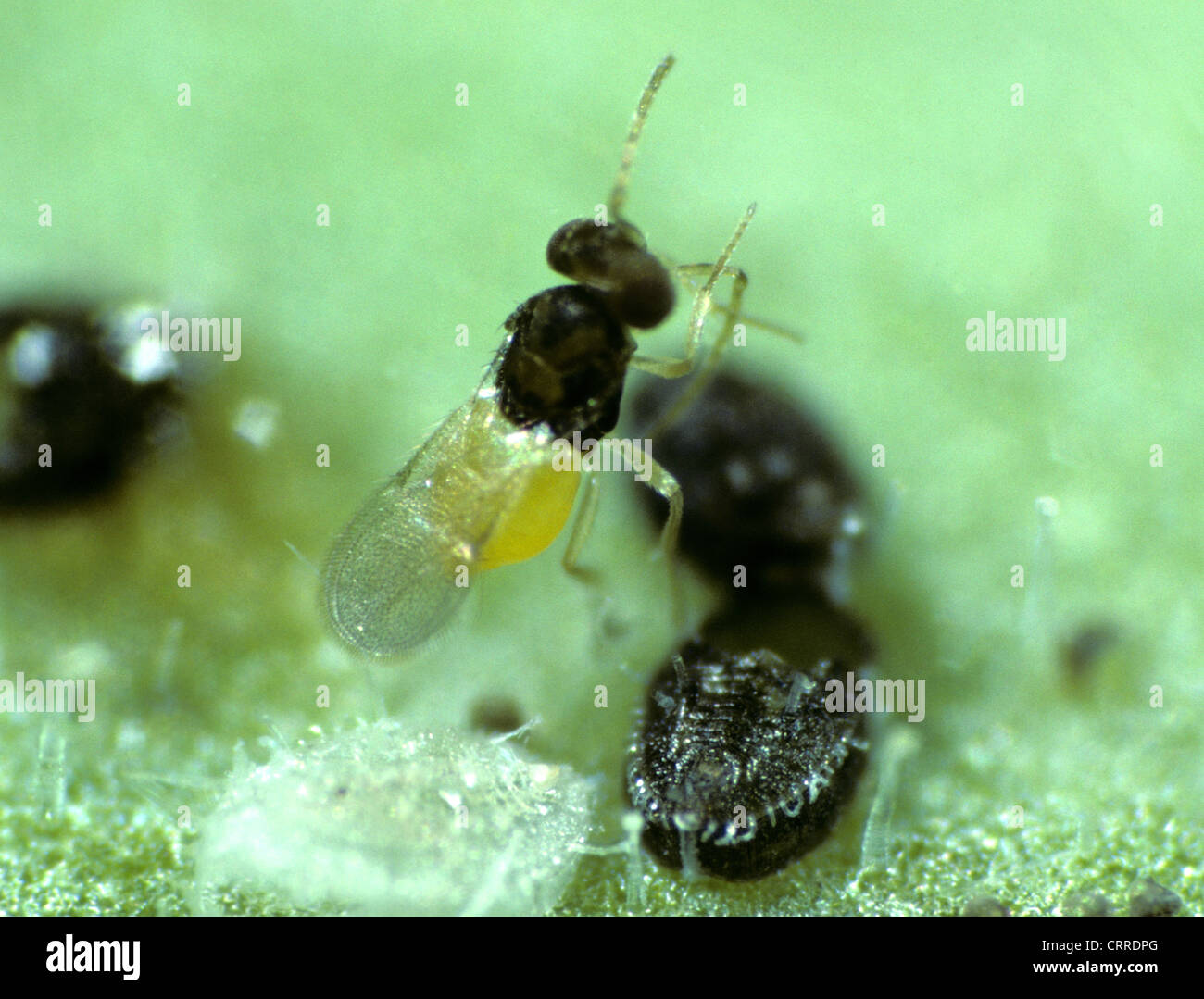 Parasitoid wasp Encarsia formosa with whitefly scales - Stock Image