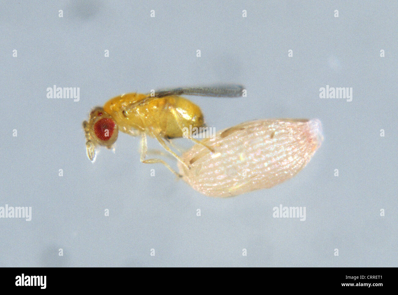 Parasitoid wasp (Trichogramma sp.) with angoumois grain moth egg - Stock Image
