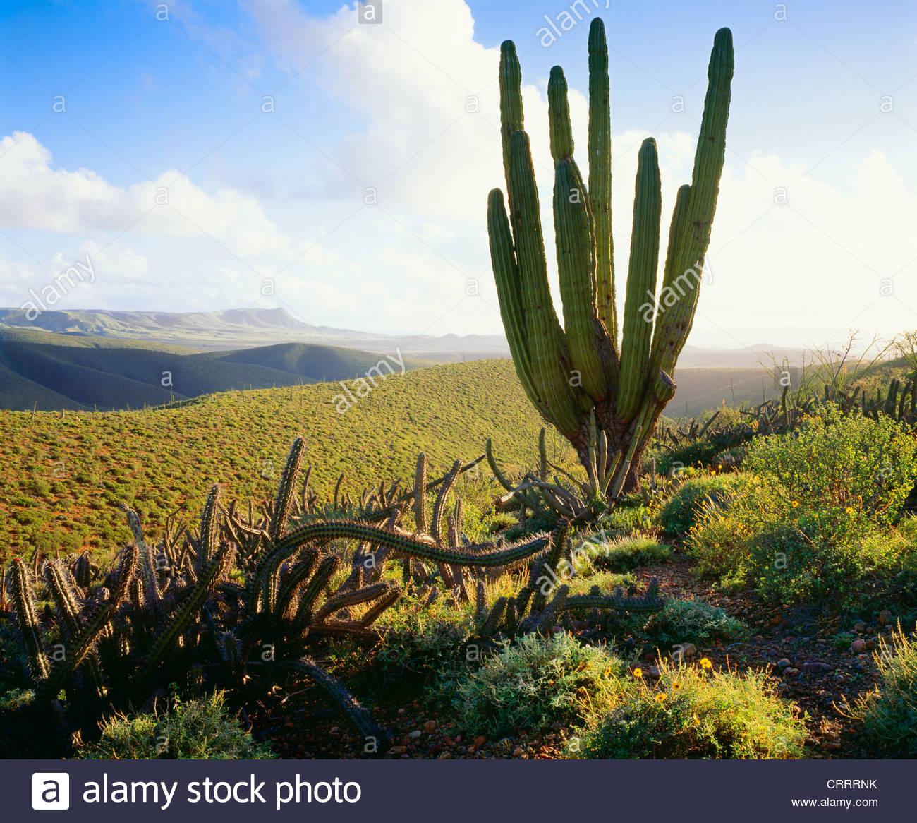 Cardon cactus, Baja California, Mexico. - Stock Image