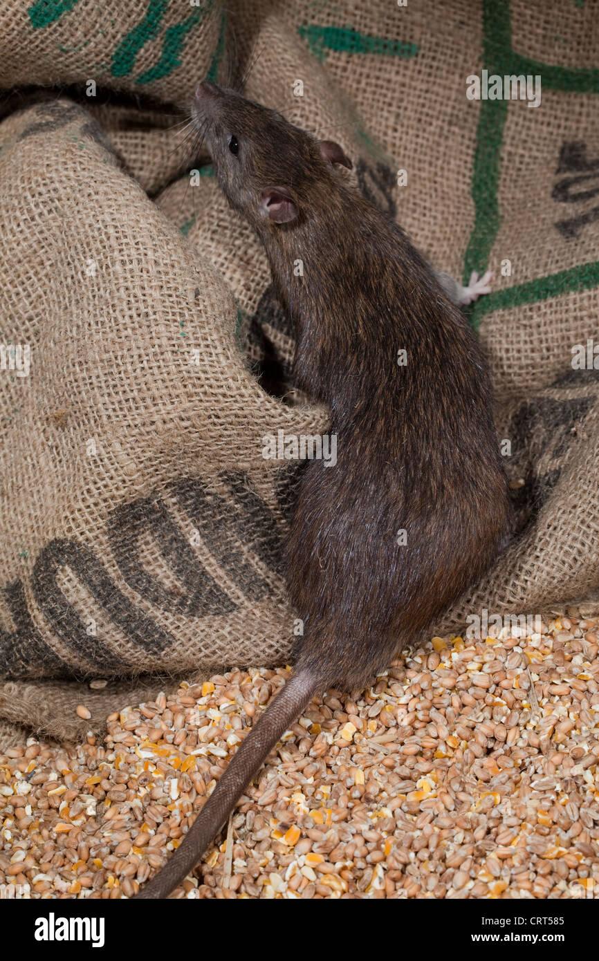 Brown Rat (Rattus norvegicus). Amongst cereal hessian food bags. - Stock Image