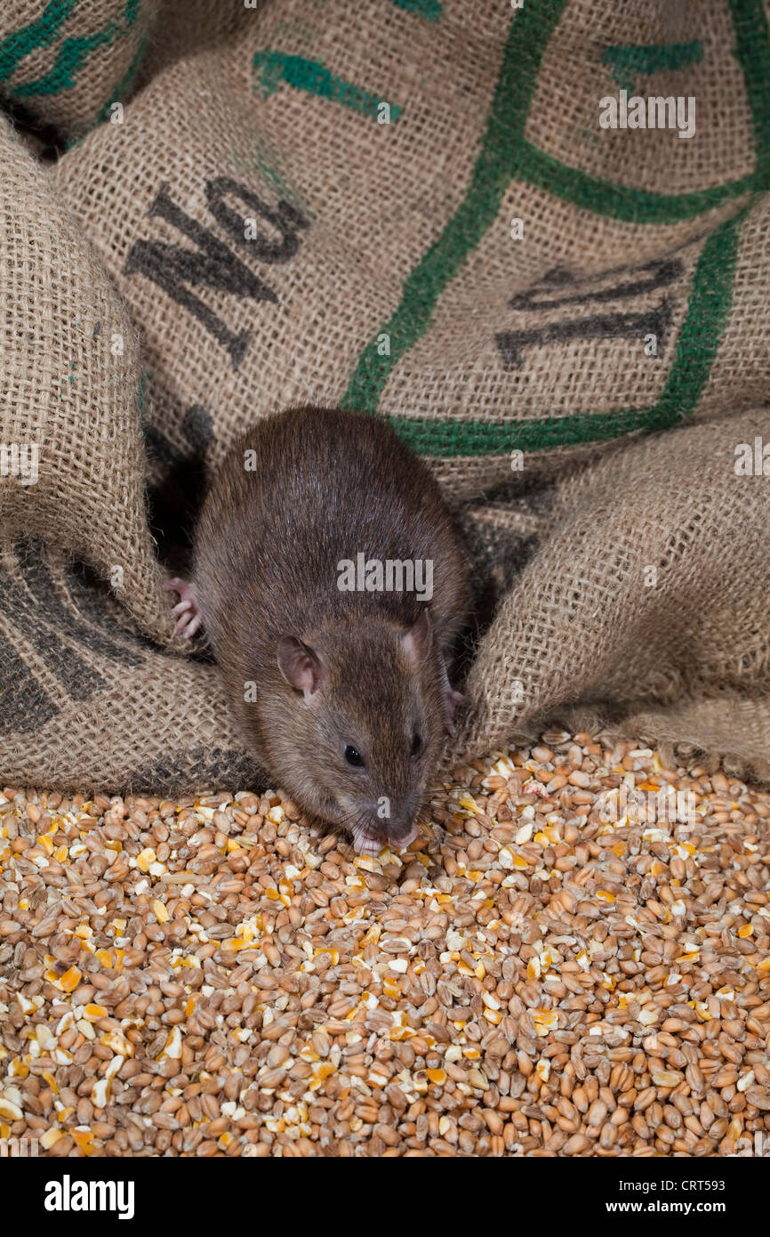 Brown Rat (Rattus norvegicus). Young animal eating grains of wheat and maize spilled from hessian cereal bags. - Stock Image