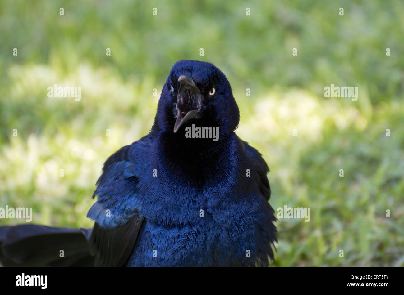 A great-tailed grackle squawking loudly with his beak wide open and feathers puffed. - Stock Image