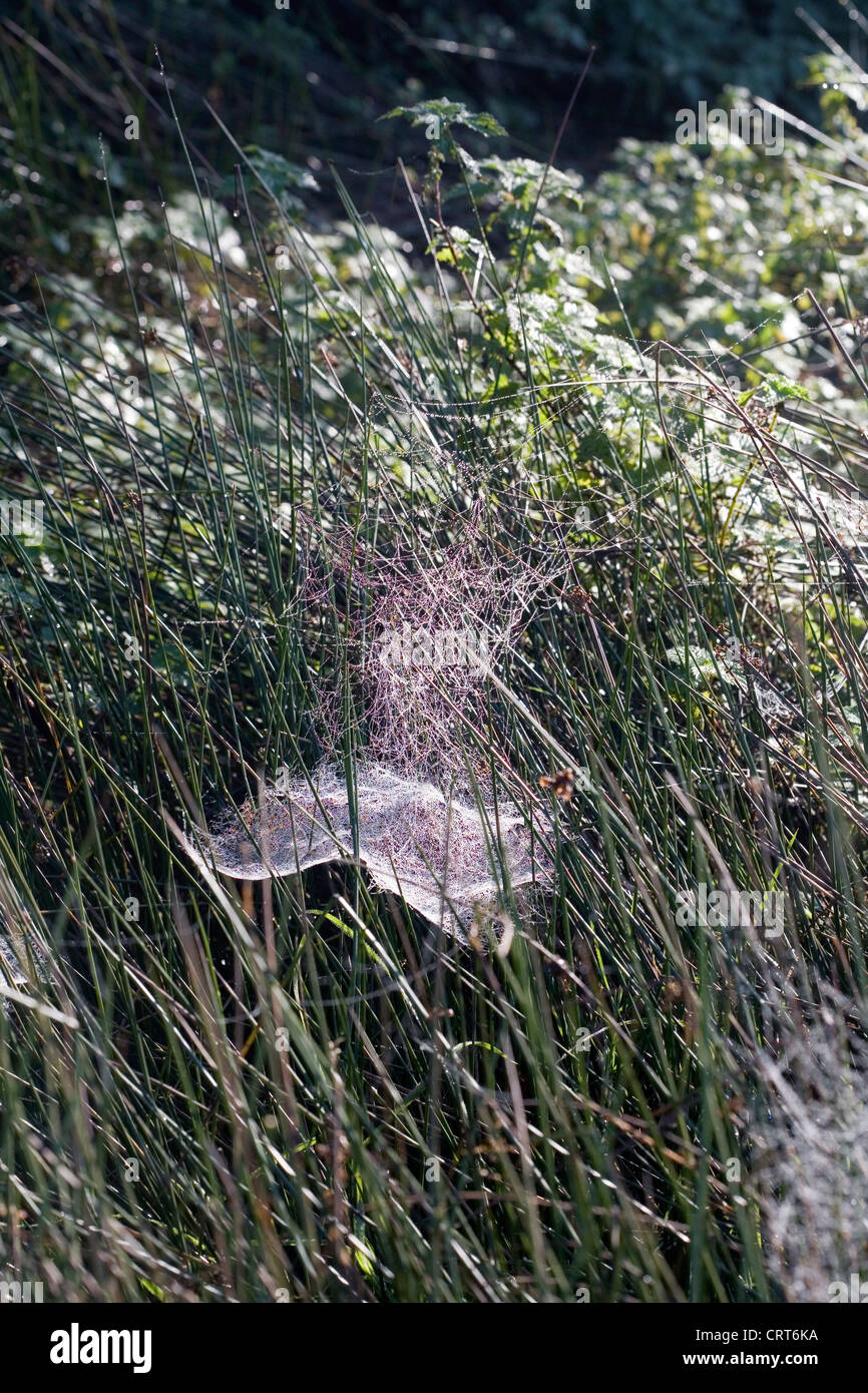 Spider's webs on bushes in a field Autumn  Poynton Cheshire England - Stock Image