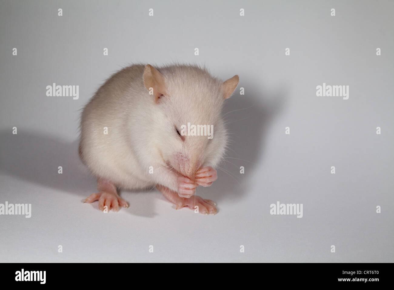 Young White Rat (Rattus norvegicus). Albino. Lacking pigmentation in skin, fur and eyes. Washing. Grooming. - Stock Image