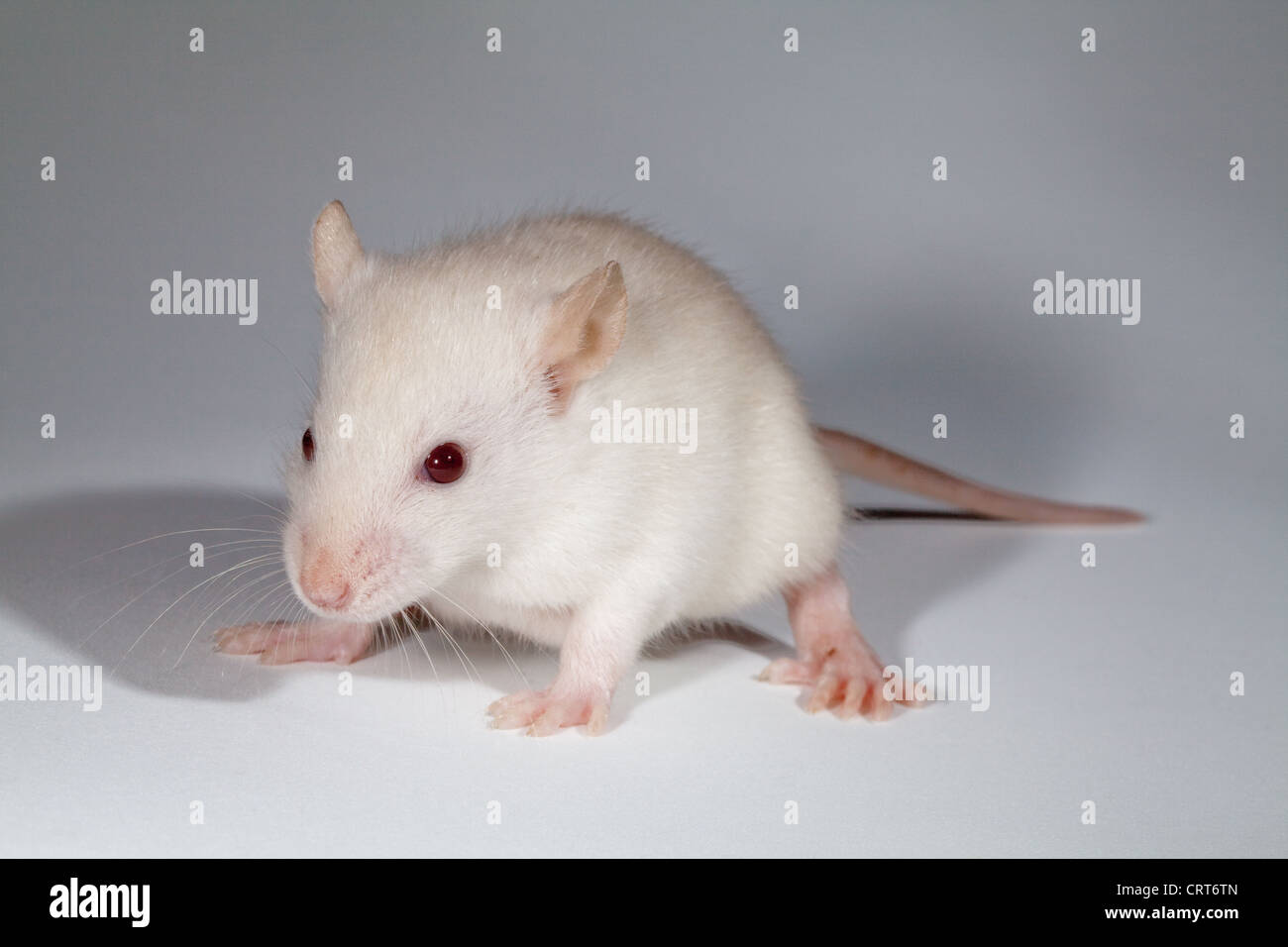 Young White Rat (Rattus norvegicus). Albino. Lacking pigmentation in skin, fur, tail and eyes. The latter appear - Stock Image